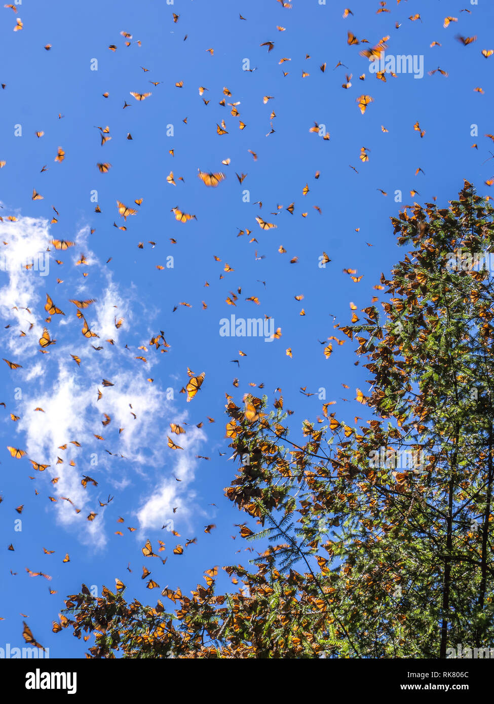 Monarch Butterflies on tree branch  with blue sky in background at the Monarch Butterfly Biosphere Reserve in Michoacan, Mexico - Stock Image