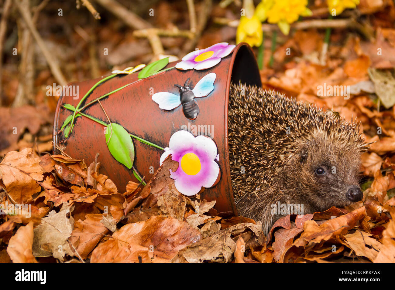 Hedgehog, (Scientific name:  Erinaceus Europaeus) wild, native, European hedgehog in Autumn on fall peeping out of a colourful plant pot.  Landscape - Stock Image