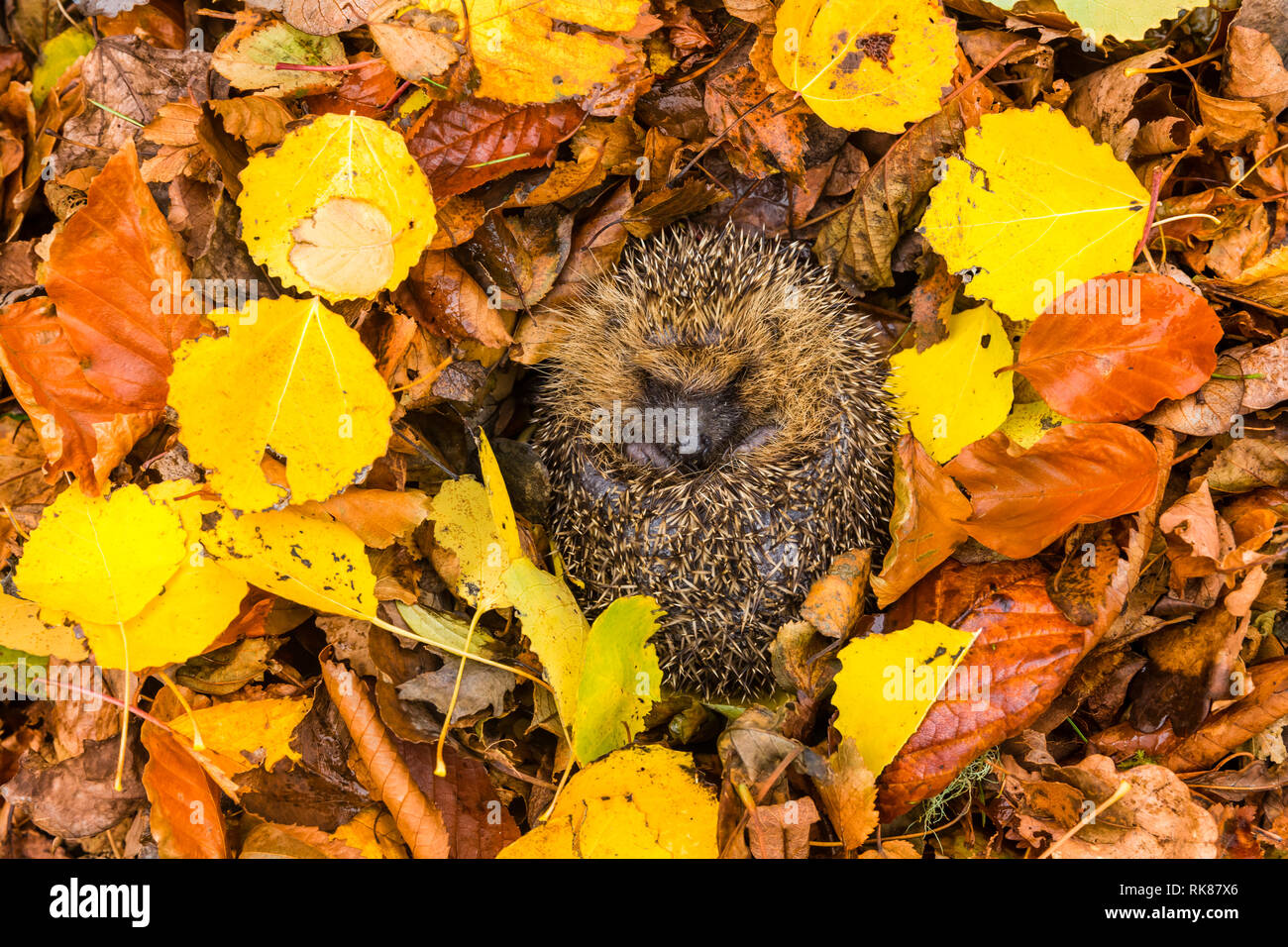 Hedgehog, native, wild,European hedgehog (Erinaceus Europaeus) curled into a ball, hibernating in colourful yellow, orange and brown Autumn. Landscape - Stock Image