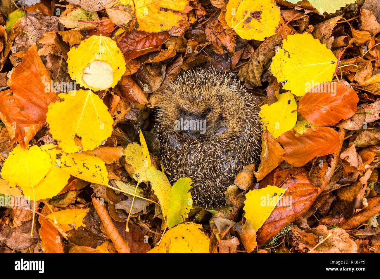 Hedgehog, native, wild,European hedgehog (Erinaceus Europaeus) curled into a ball, hibernating in colourful yellow, orange and brown Autumn. Landscape Stock Photo