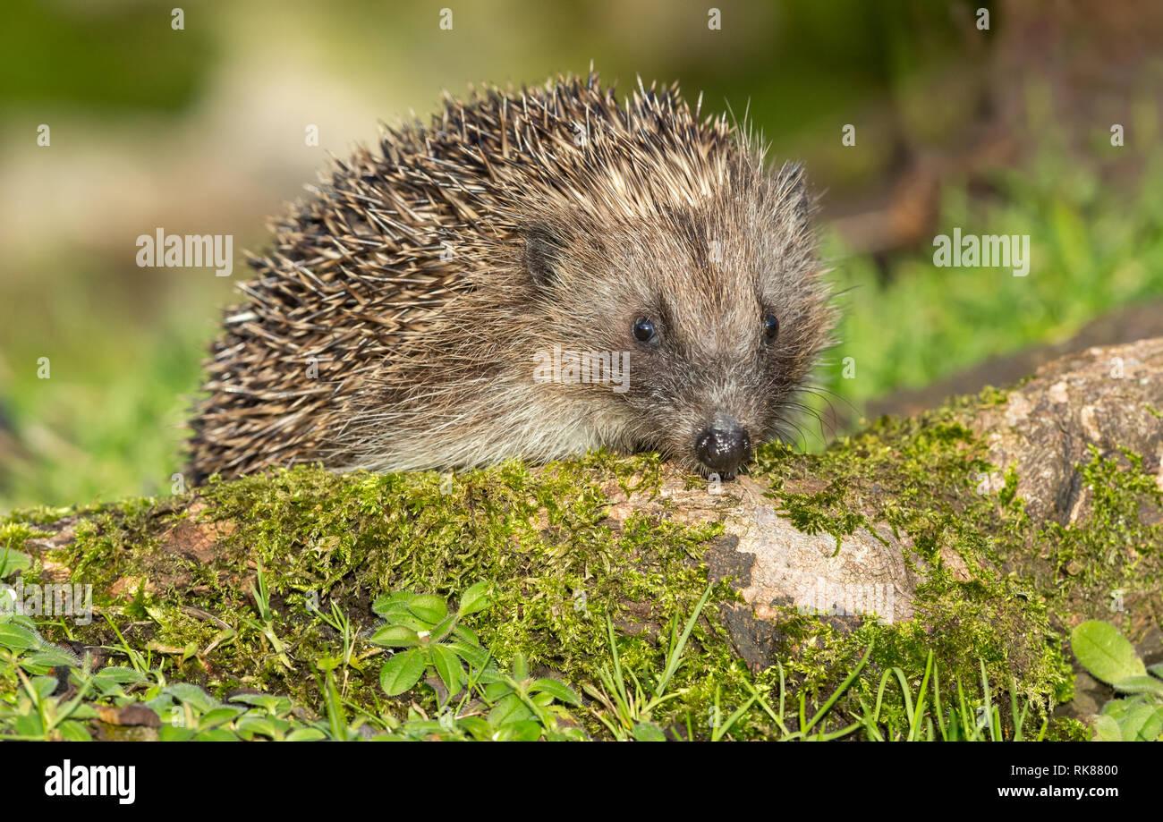 Hedgehog, wild, native, European hedgehog in natural woodland habitat with green, moss covered log.  Scientific name: Erinaceus Europaeus - Stock Image