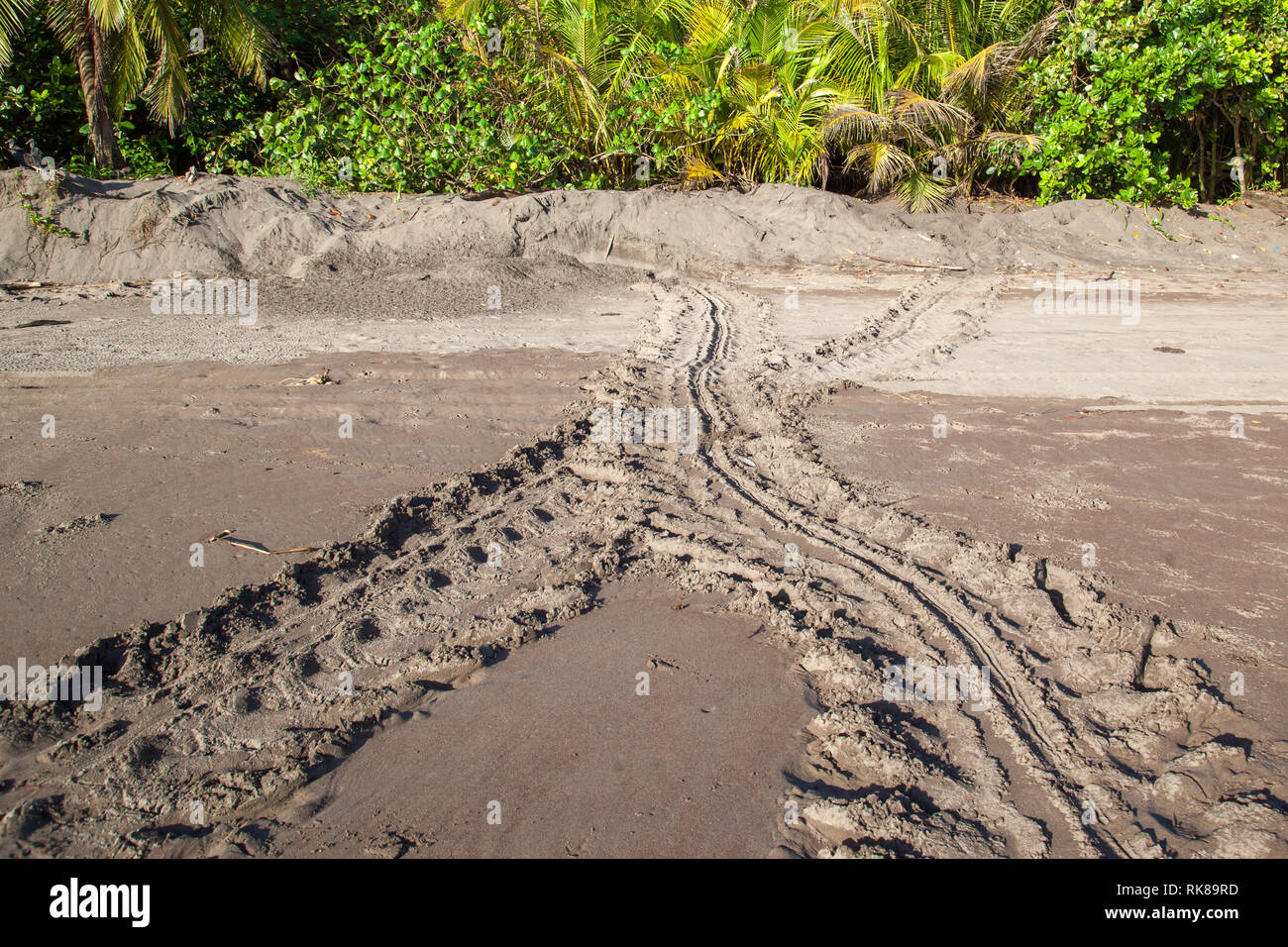 Sea turtle tracks on the beach at Tortuguero National Park in Costa Rica - Stock Image