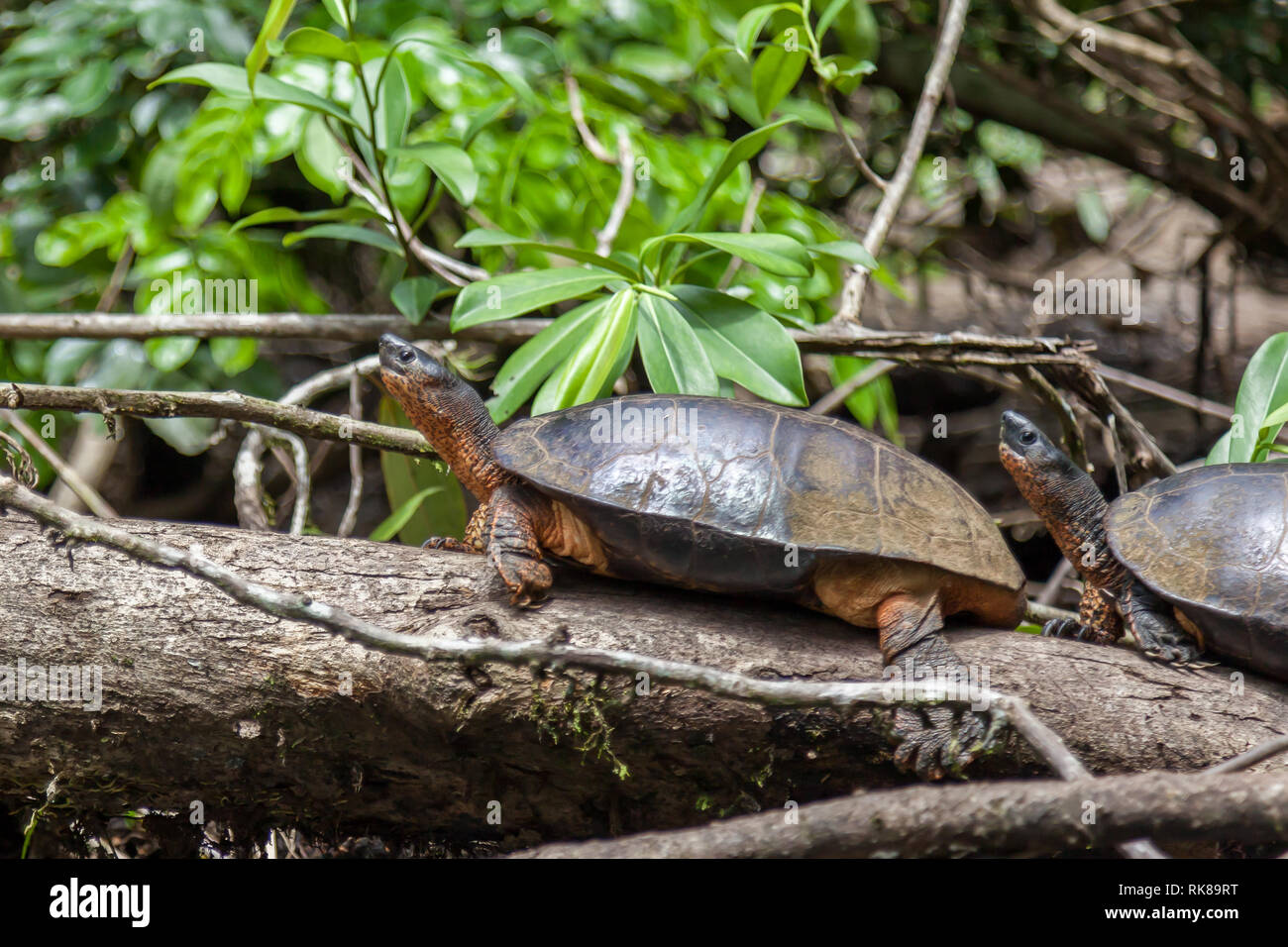 Two Black River Turtles (Rhinoclemmys funerea) resting on the tree chunk in Tortuguero National Park in Costa Rica. - Stock Image