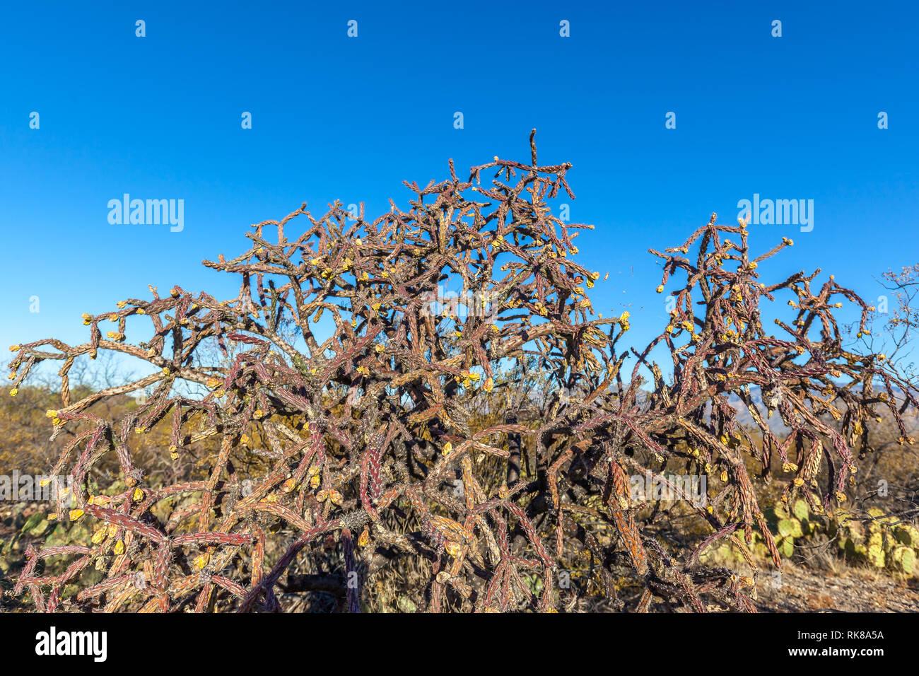 Close up of the buckhorn cholla (Cylindropuntia acanthocarpa) in Saguaro National Park in Tucson, Arizona. Stock Photo