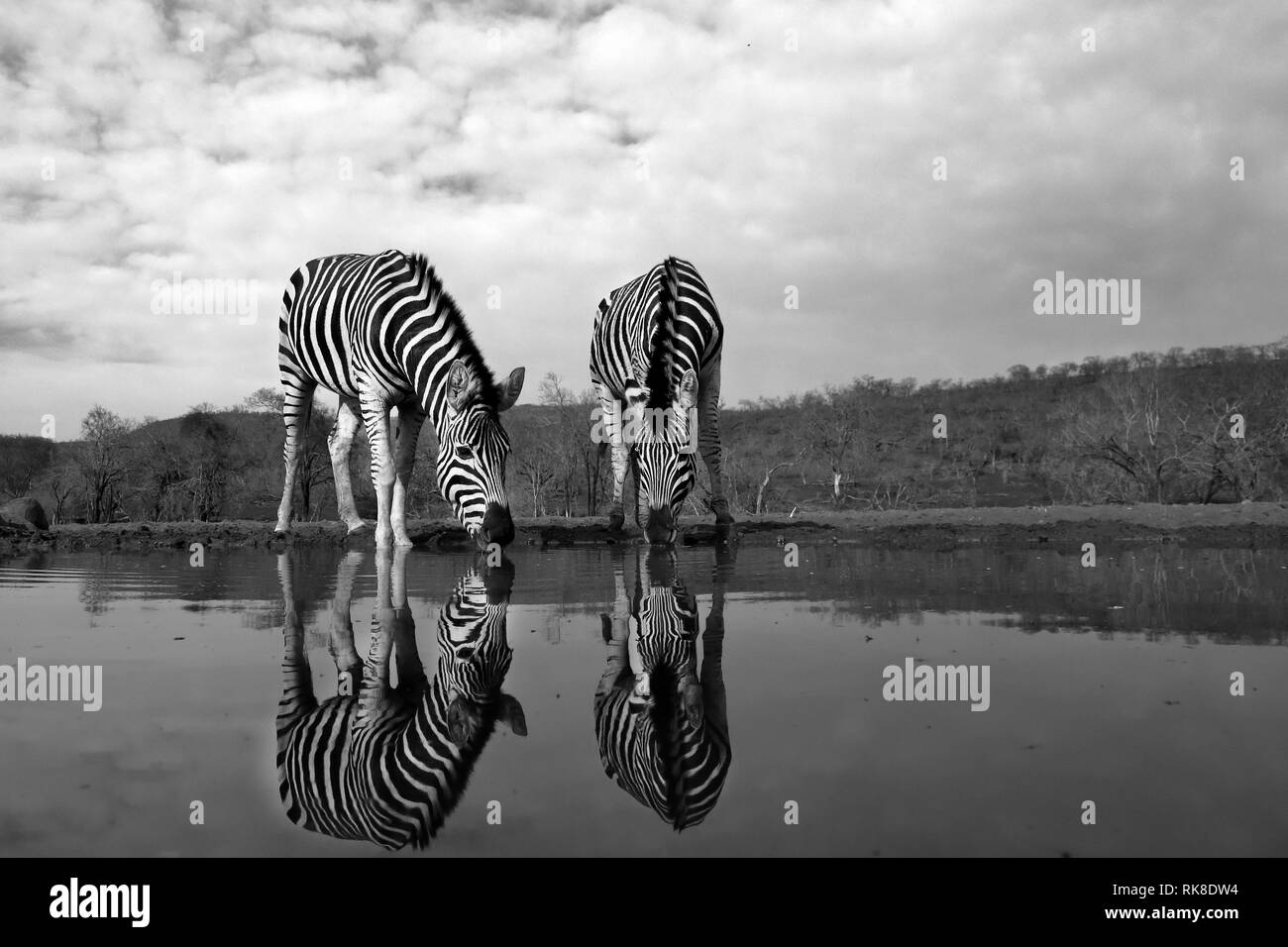 Two zebras water in a pool of water in the savannah, the photo was drawn in black and white Stock Photo