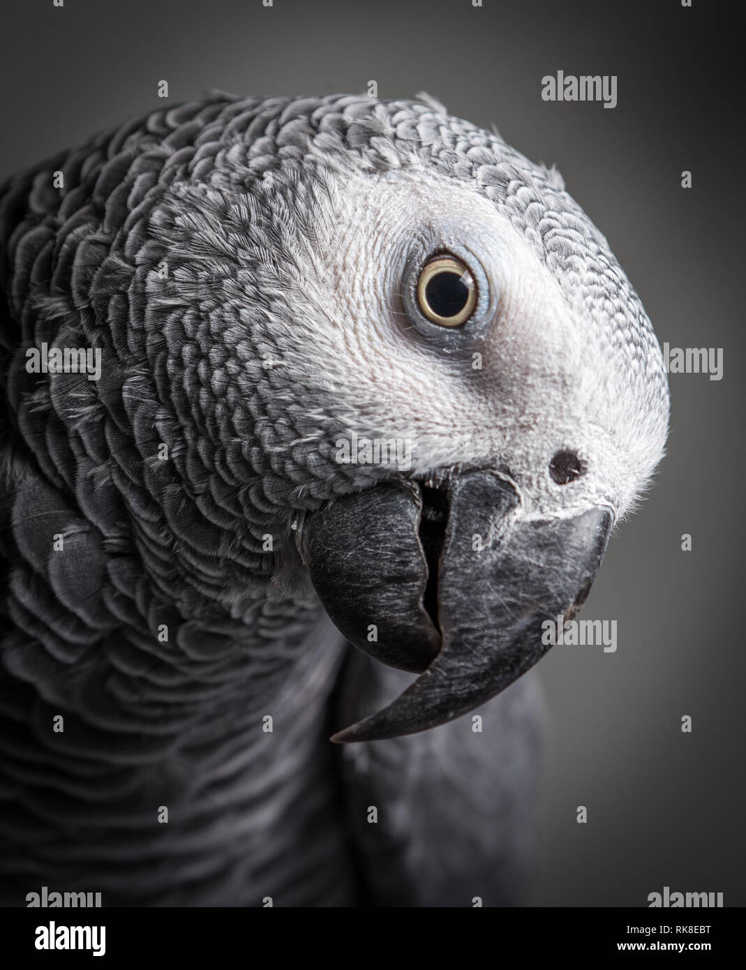 African Grey parrot with his head tilted looking down. Close up shot of a captive pet bird. - Stock Image