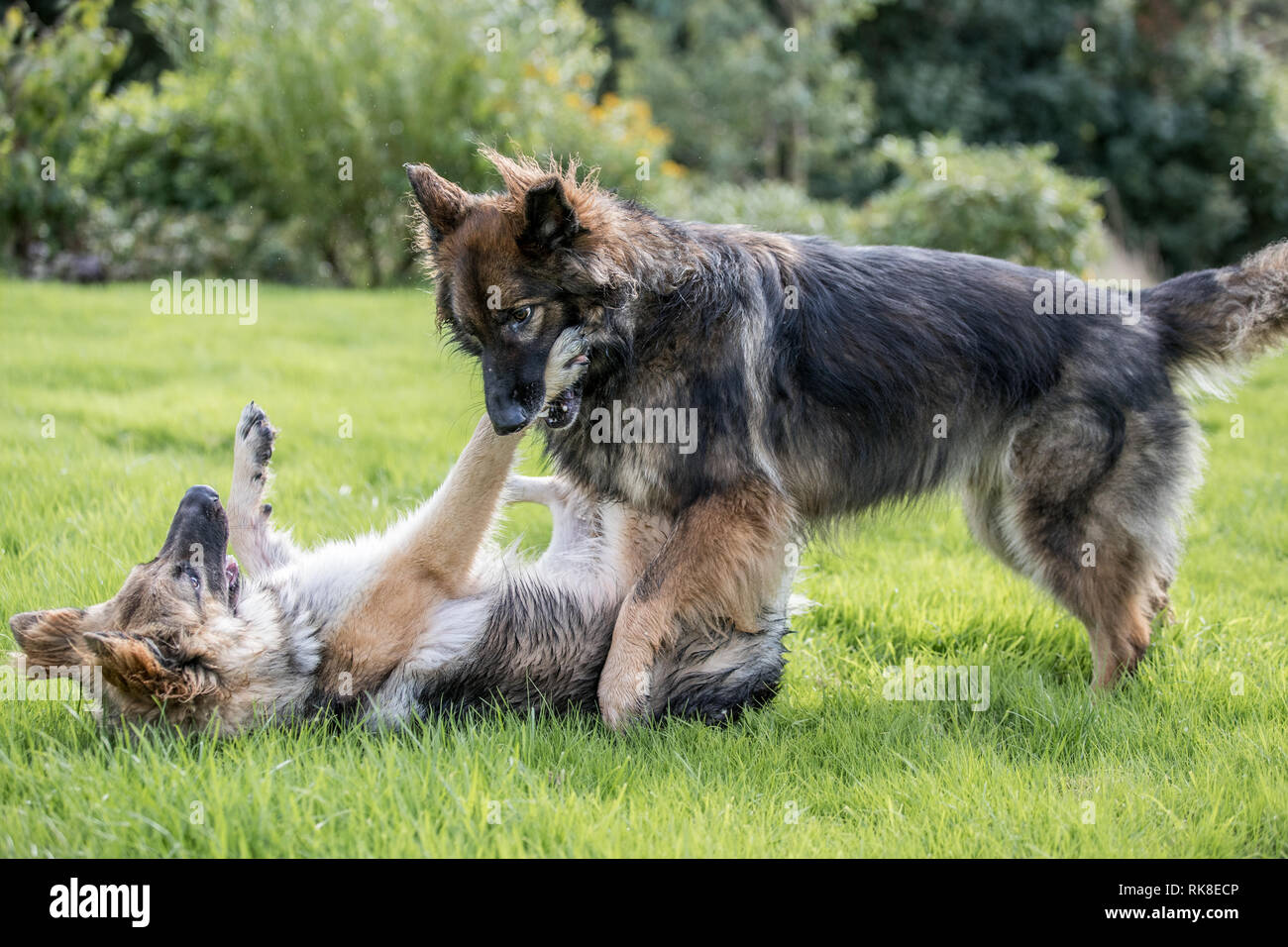 Pair of German Shepherd Dogs playing fighting together, one is gently biting the other's one front leg - Stock Image