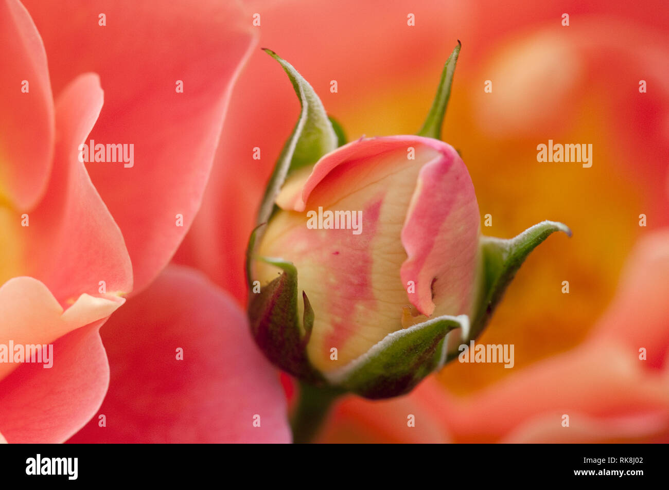 Rosa 'Herzogin Friederike', Rose, Strauchrose Stock Photo