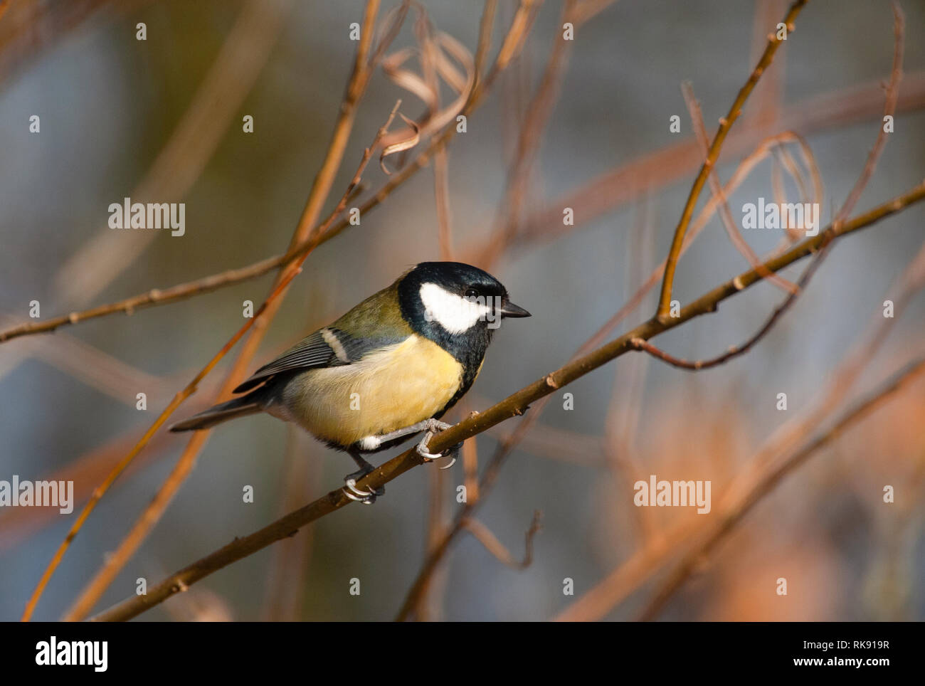 Great Tit, Parus major, perched on branch, Hampstead Heath, London, United Kingdom Stock Photo