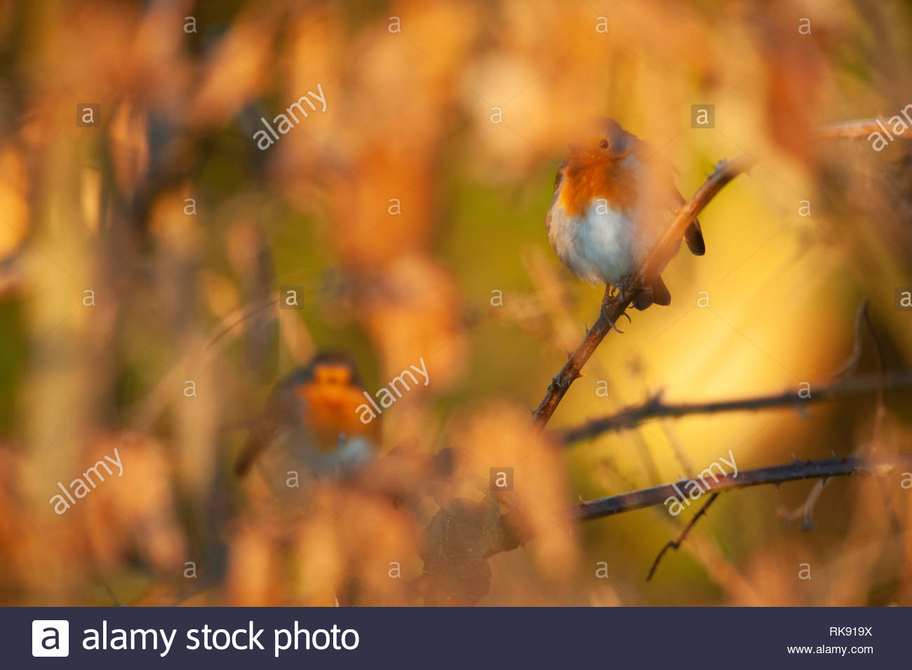 European Robins, Erithacus rubecula, perched in brambles with fluffed up plumage,warm their bodies in morning sunshine, Hampstead Heath,United Kingdom Stock Photo