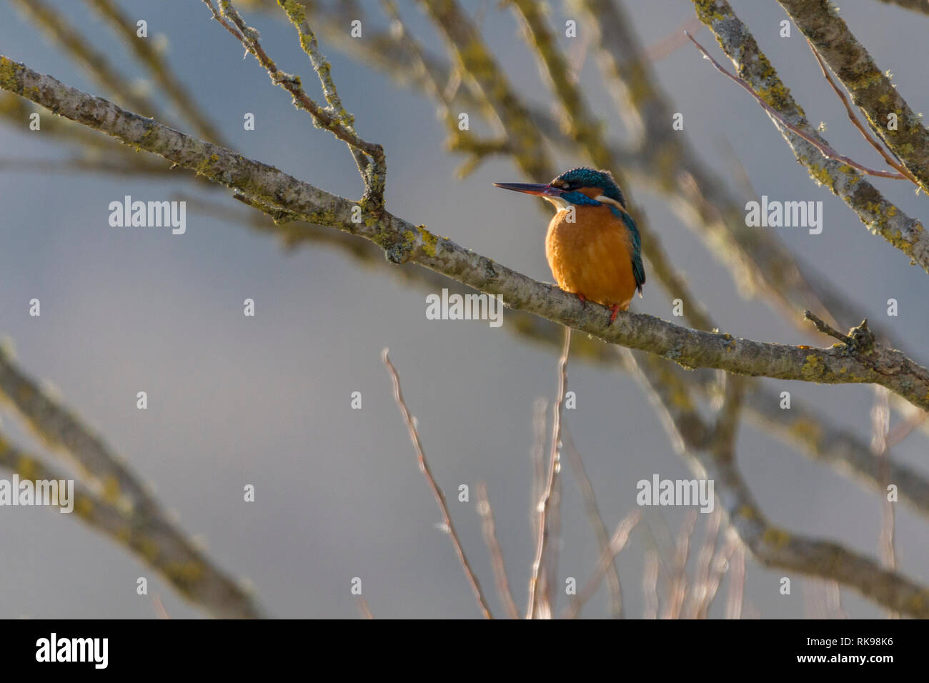 Kingfisher (Alcedo atthis) on branch. Red orange under parts electric blue upper parts white throat and neck patches long black bill and short tail. - Stock Image