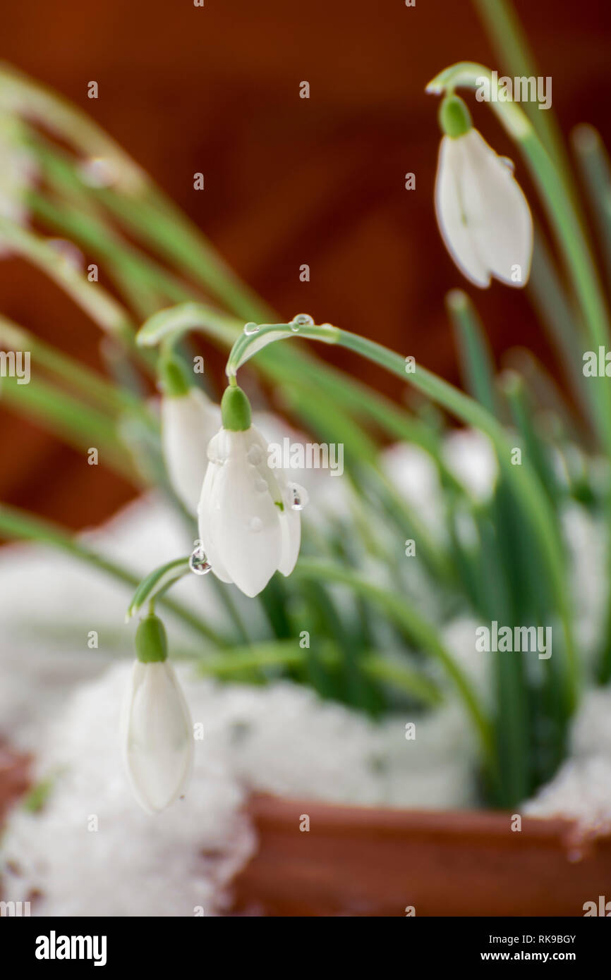 Snowdrops in the snow. - Stock Image