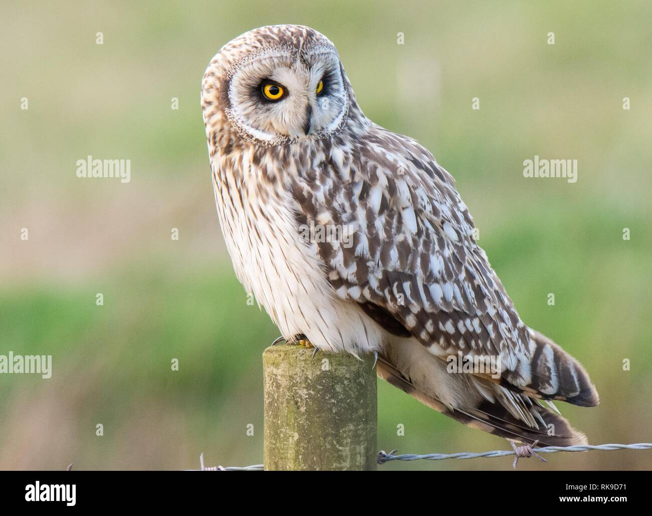 Short Eared Owl perched on a fence post at Bonby - Stock Image