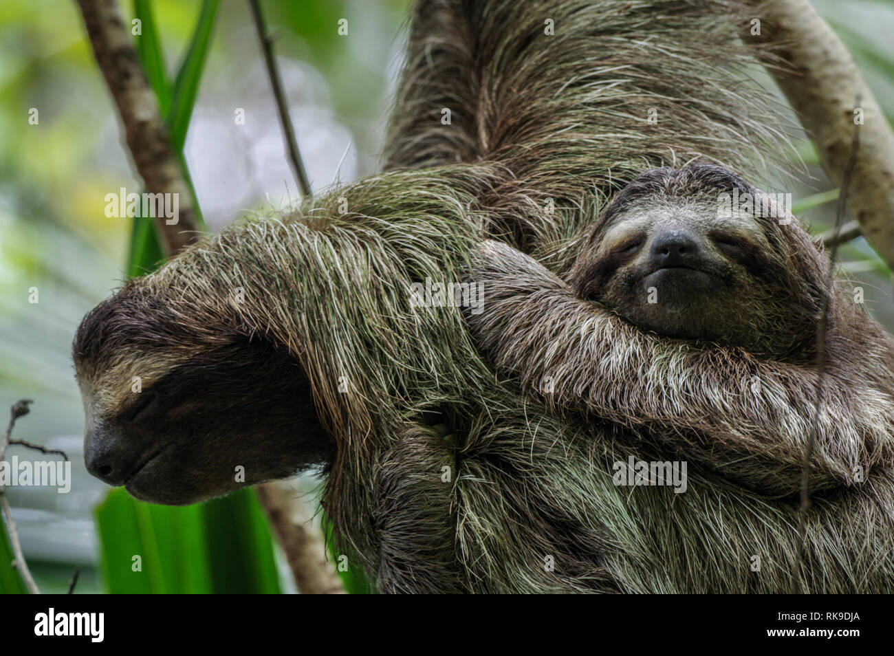 Brown-throated sloth hanging out in a tree on Isla Cristobal in Bocas Del Toro Archipelago, Panama Stock Photo