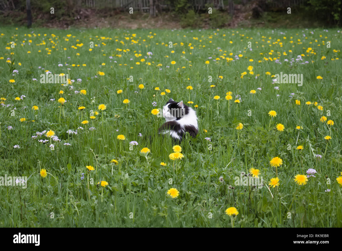 Black and white spotted longhaired cat in field of yellow dandelions. Stock Photo