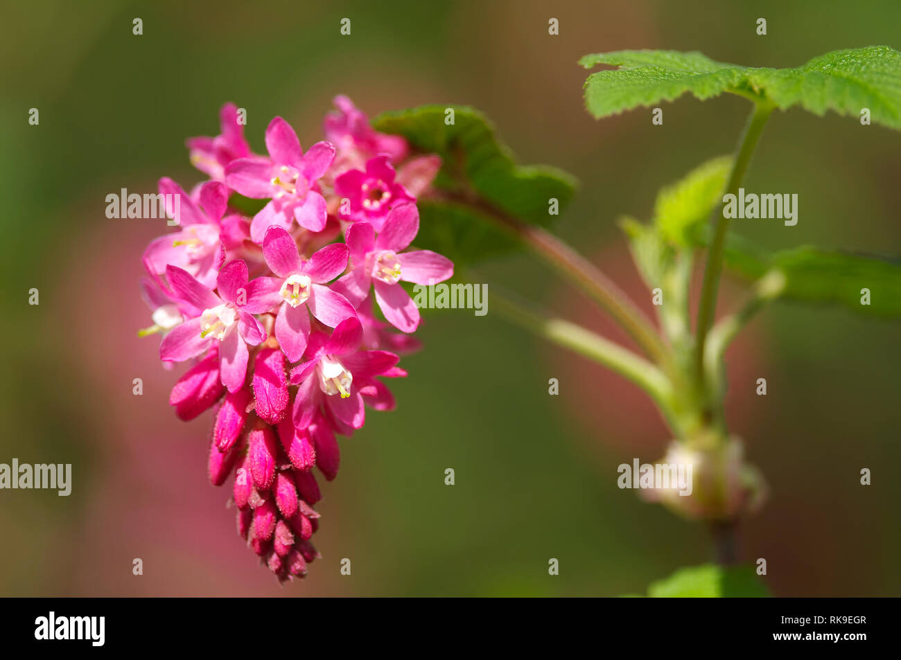 Cluster of Pink-flowering Currant (Ribes sanguineum glutinosum) blossoms. - Stock Image