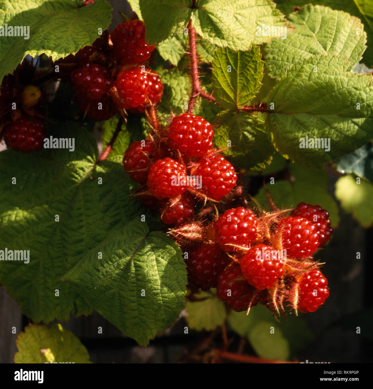 Prunus Phoenicolasius is an Asian species of raspberry in the rose family - Stock Image