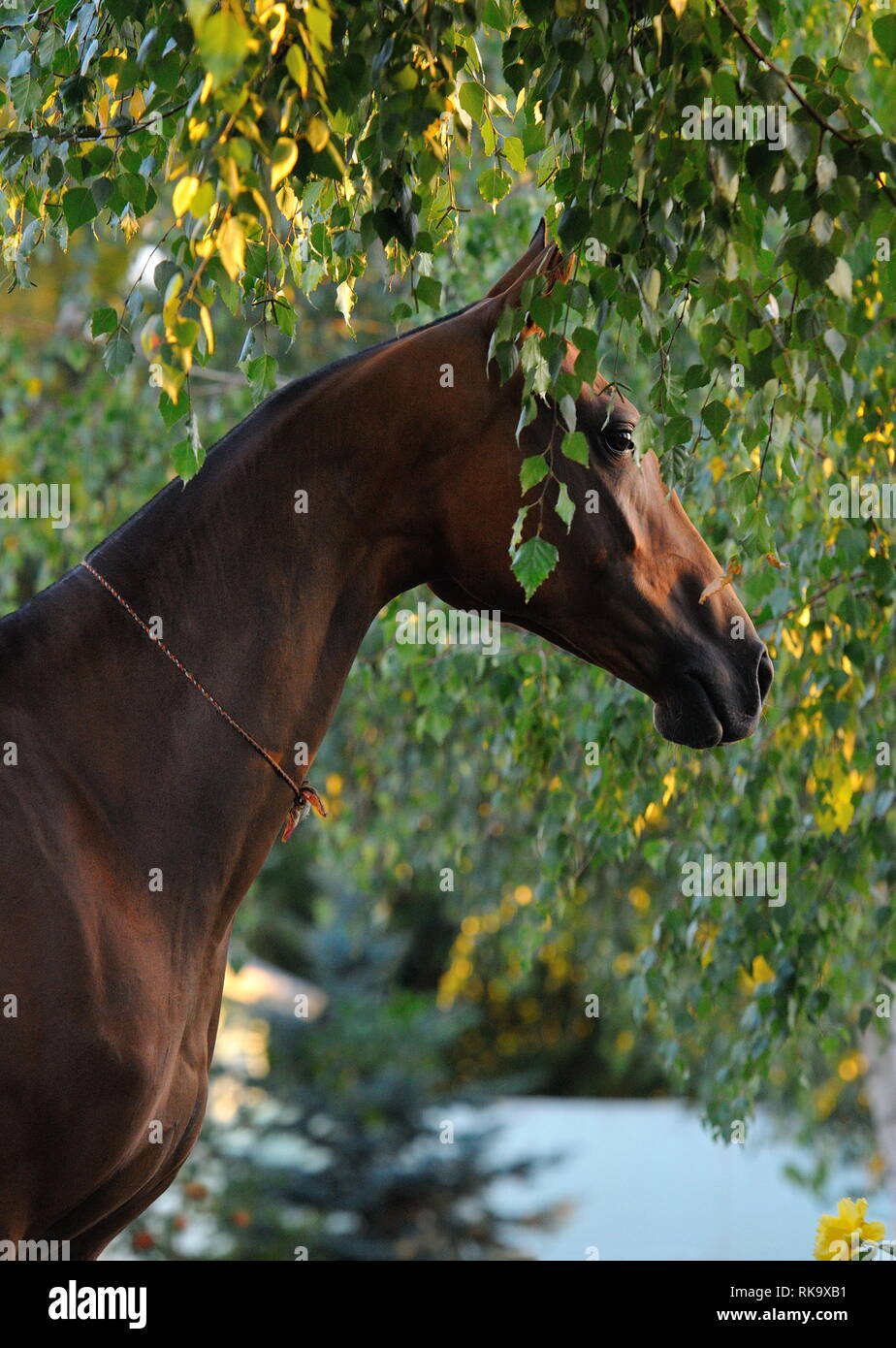 Shy bay horse hides under the birch tree in summer. Vertical, side view, portrait. - Stock Image