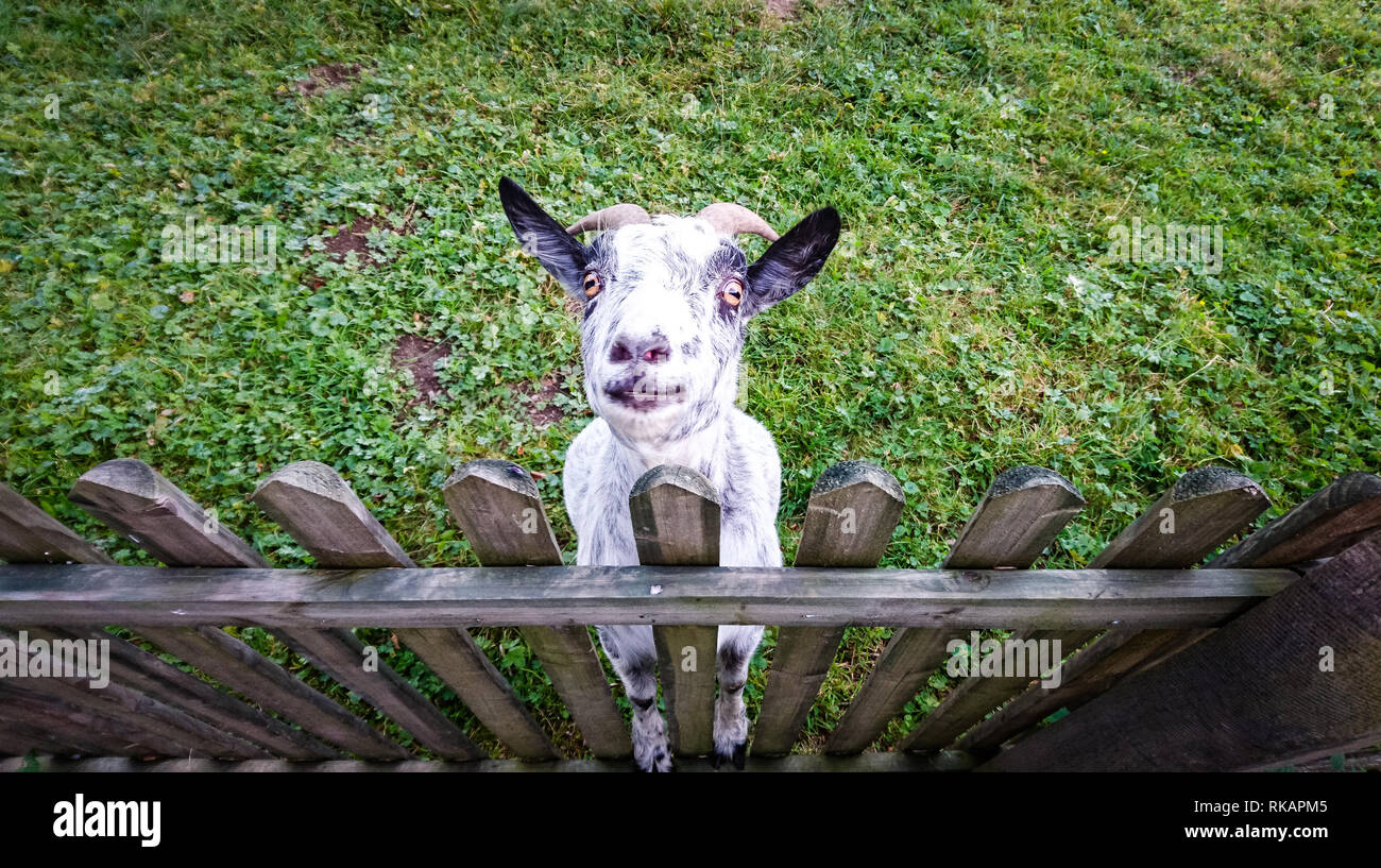 A goat standing on a fence looking in the camera Stock Photo