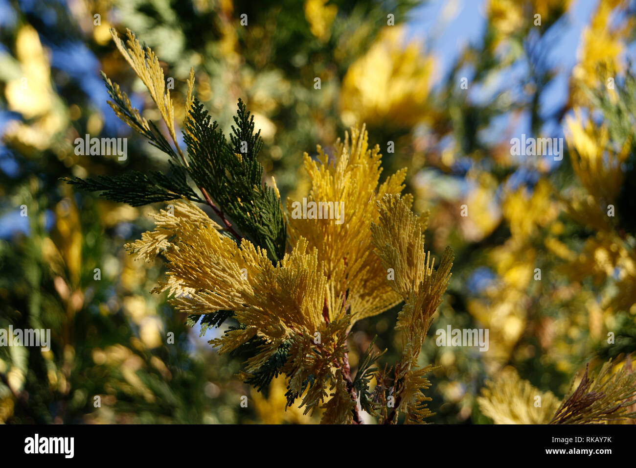 Juniper is an evergreen plant with scalelike leaves and its seeds need be eaten by fieldfare to germinate. Some juniper trees are yellow variegated. Stock Photo