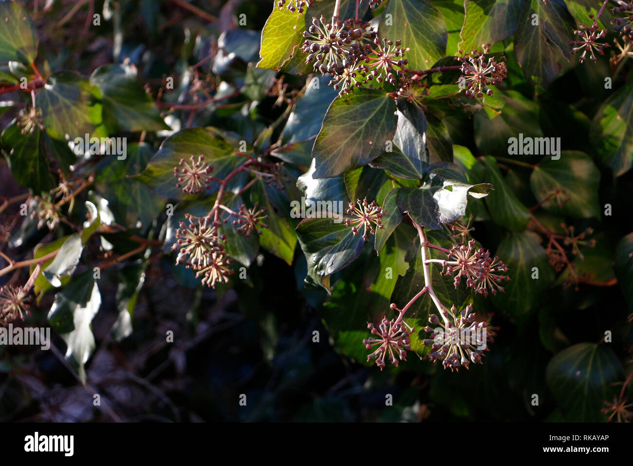 Ball-shaped creeper seeds under the winter sunlight - Stock Image