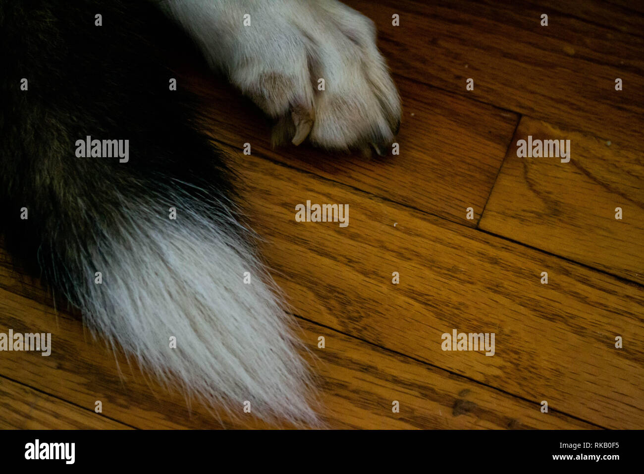 Close up of dog paw and tail on hardwood floor - Stock Image