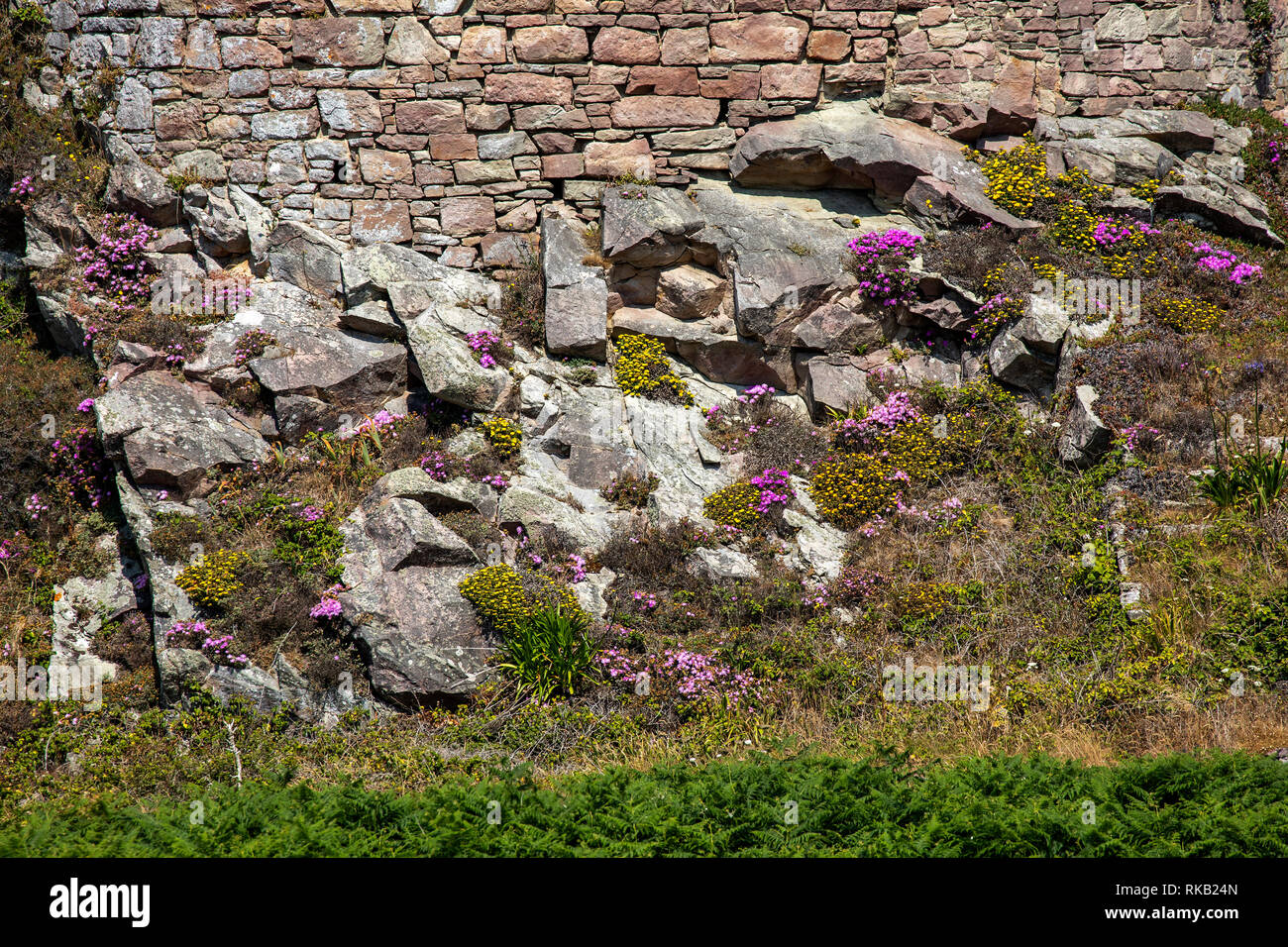 Natural flora growing on rocks near to the coast on Alderney - Stock Image