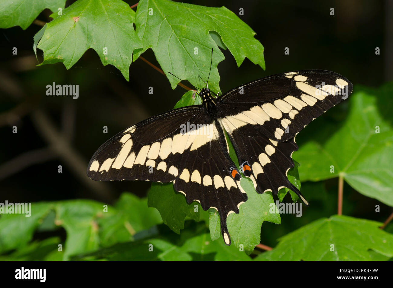 Giant Swallowtail, Papilio cresphontes, basking - Stock Image