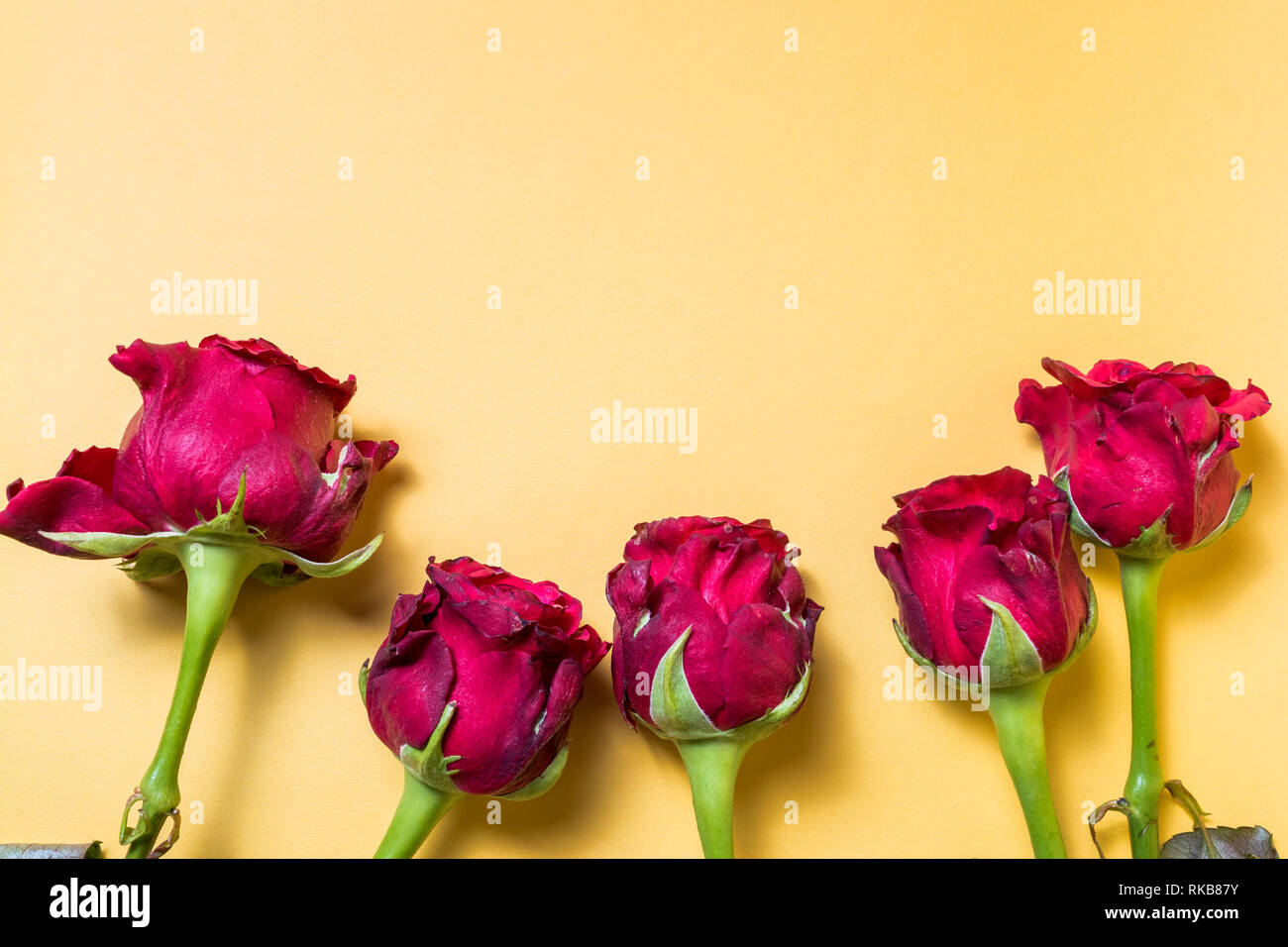 Rose flowers on yellow background, with copy space for text, horizontal orientation. - Stock Image