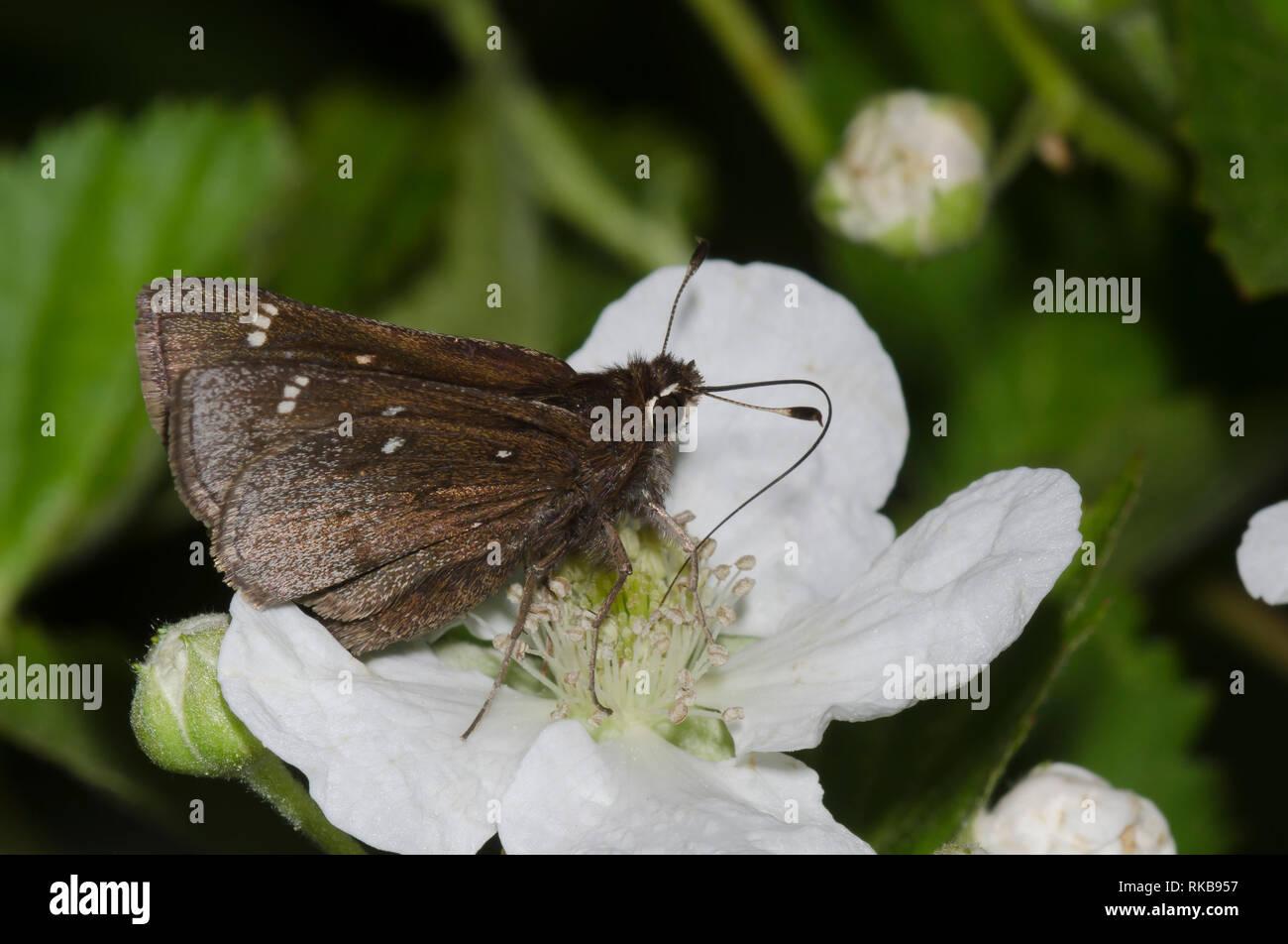 Dusted Skipper, Atrytonopsis hianna, nectaring from blackberry, Rubus sp., blossom - Stock Image