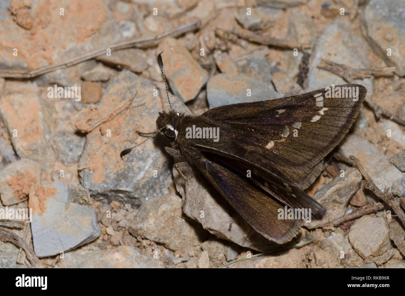 Dusted Skipper, Atrytonopsis hianna - Stock Image