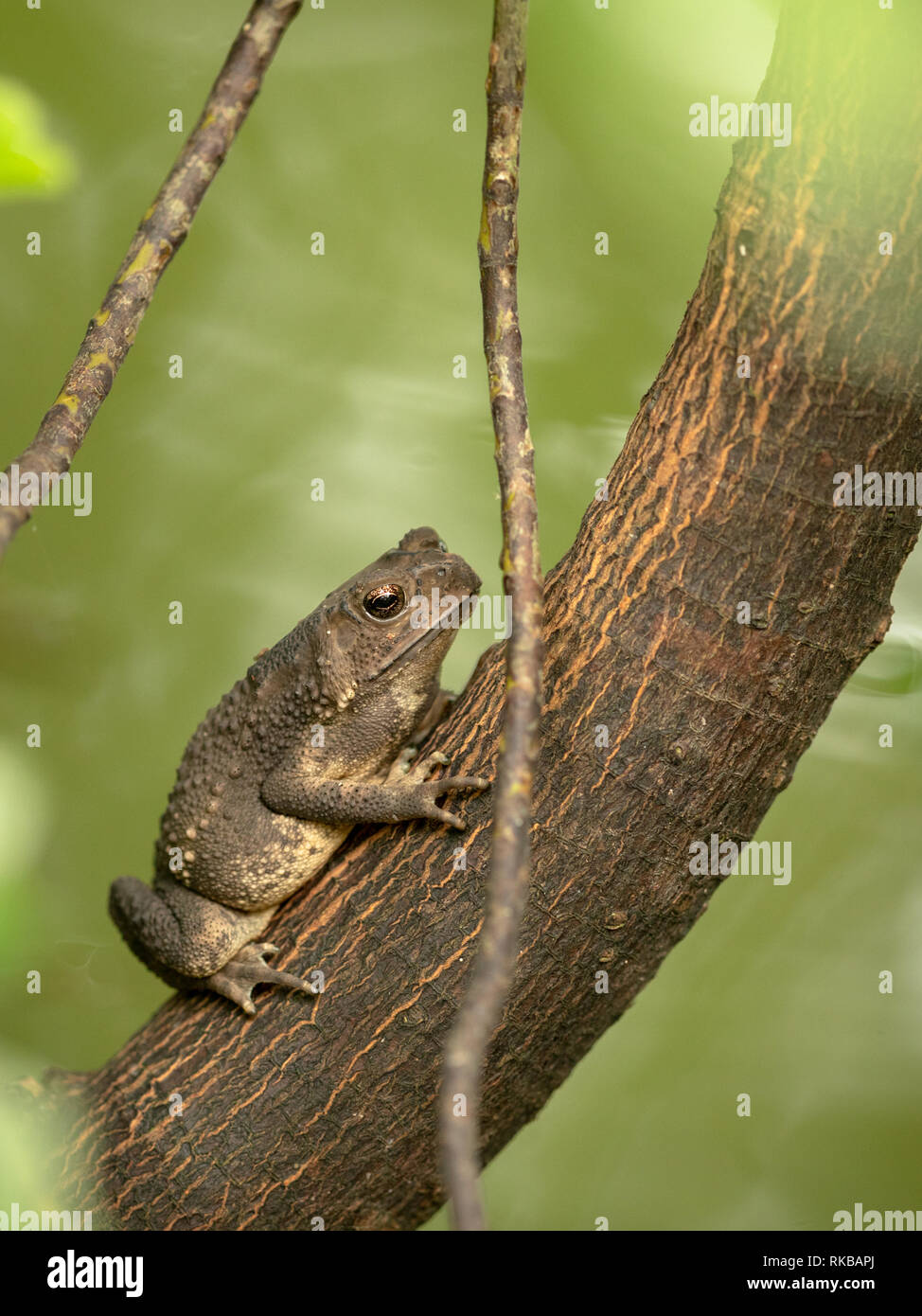 Asian common toad, Black-spined toad, Duttaphrynus melanostictus sitting on tree. Vertical. - Stock Image