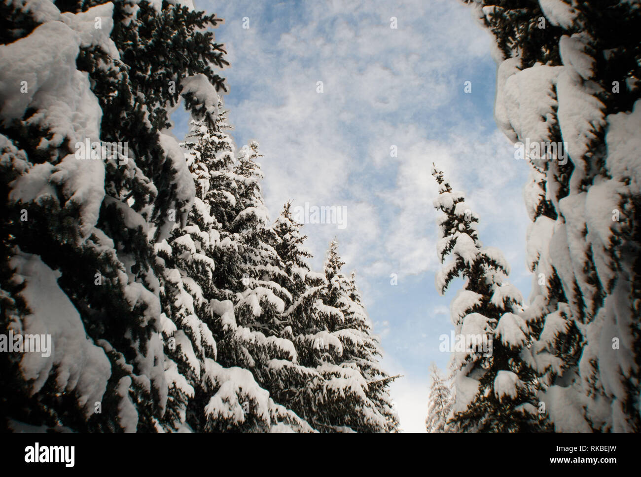 Wide, fishe eye distorted, looking up to blue soft clouds sky from majestic covered in snow  forest. Big, impressive spruce trees. - Stock Image