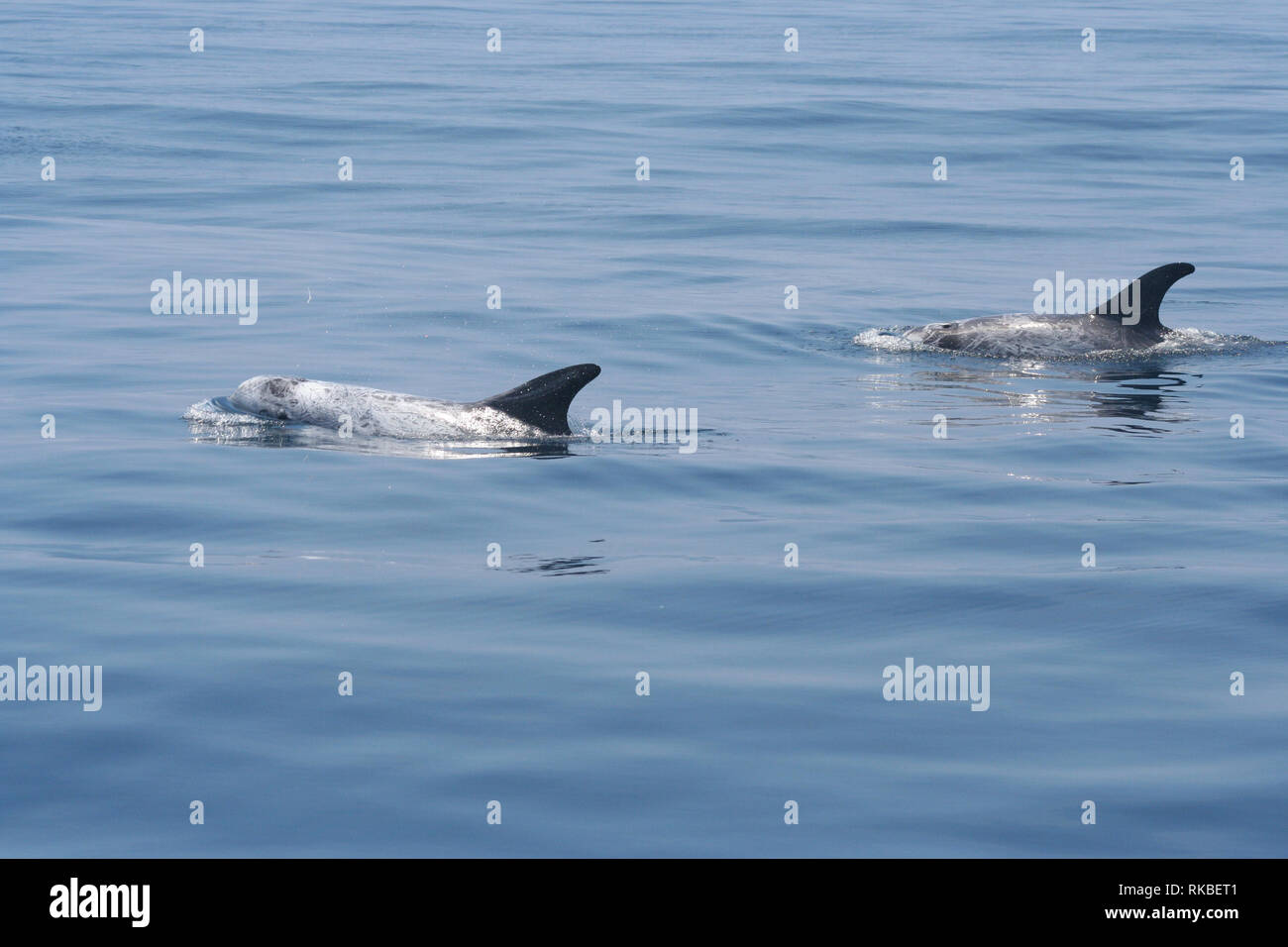 Two Risso's Dolphin (Grampus griseus) swim lazily on a calm day off the island of Catalina in California - Stock Image
