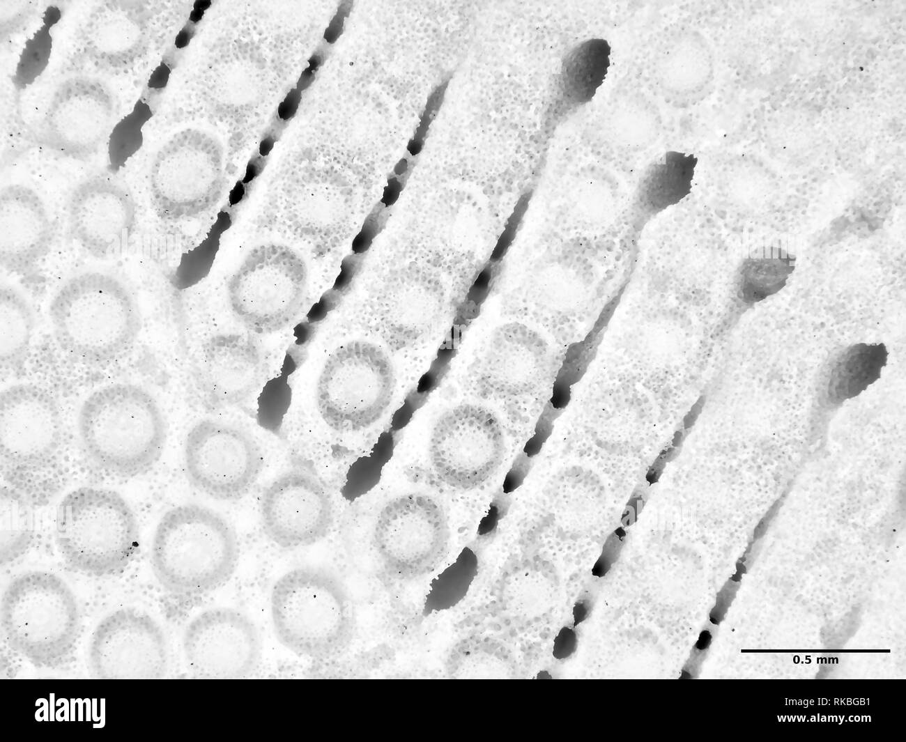 Extreme macro photography (micrograph) of sand dollar (Clypeasteroida) shell, field of view is about 3mm wide - Stock Image