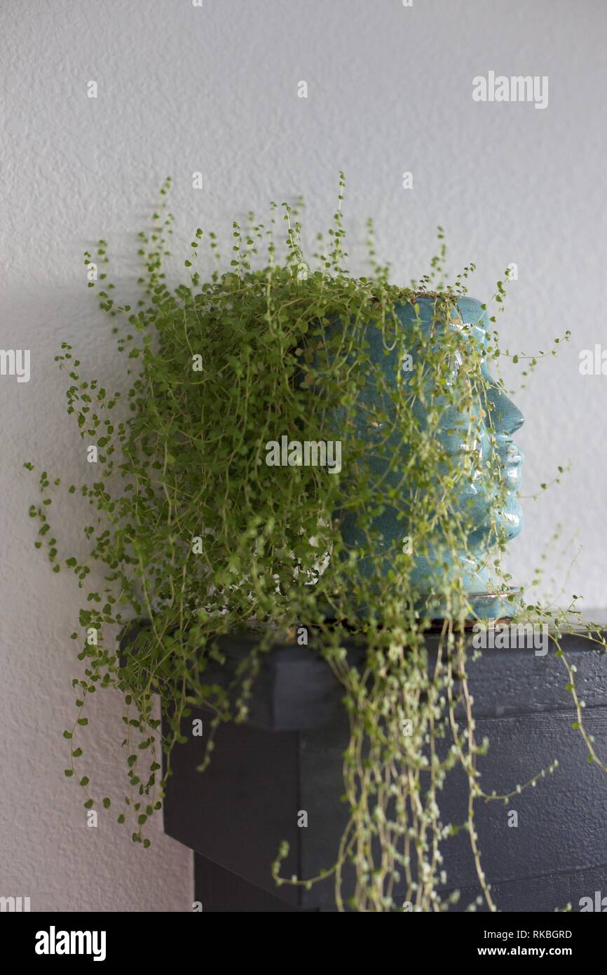 Baby's Tears plant - Soleirolia soleirolii  - growing in an unusual head-shaped planter. - Stock Image