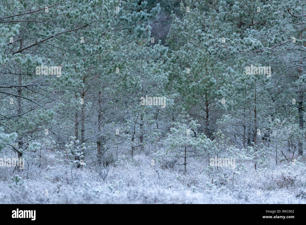 Scots Pine Saplings (Pinus Sylvestris), Covered in Frost, in a Woodland Clearing in Scotland - Stock Image