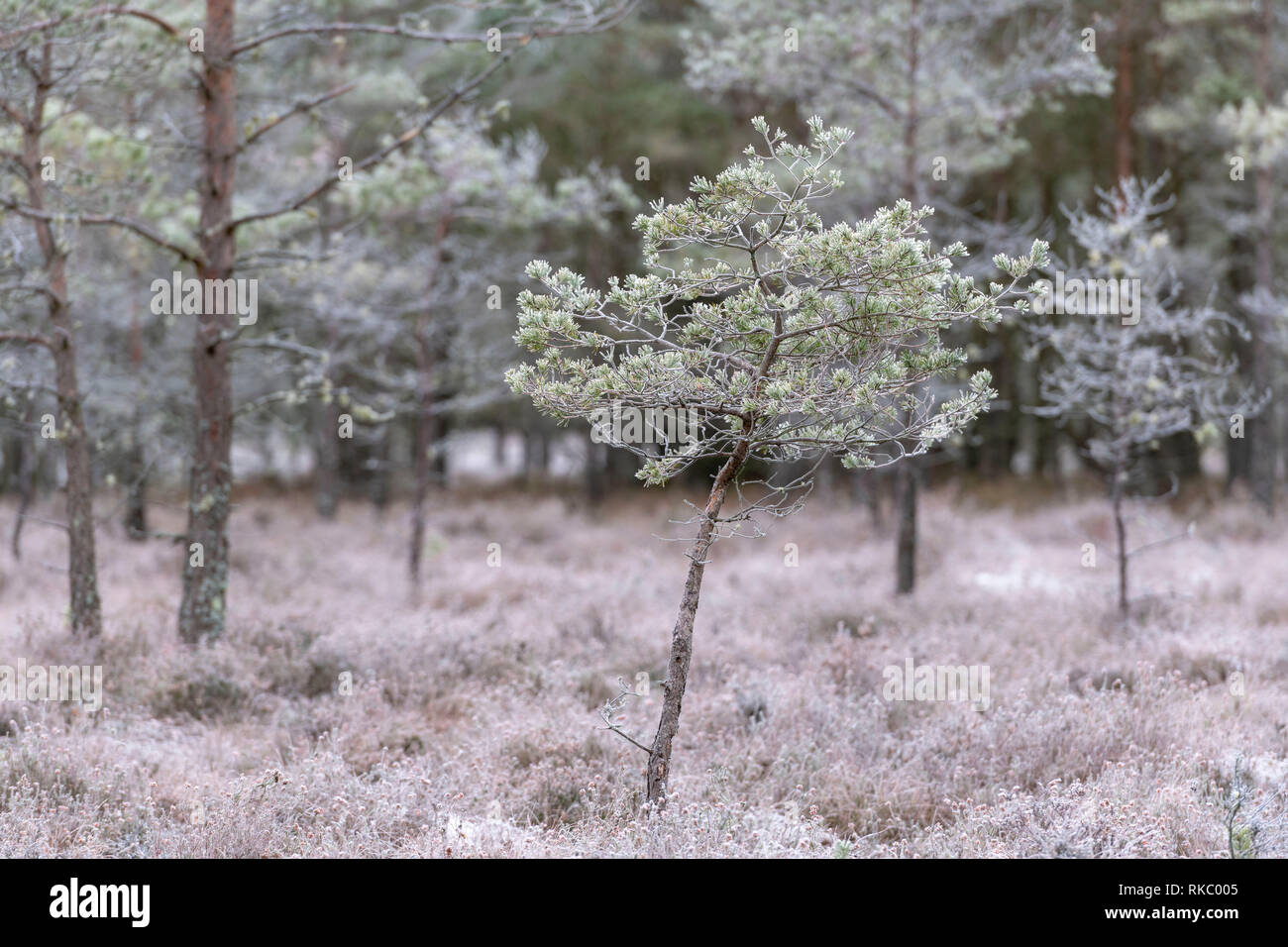 A Scots Pine Sapling (Pinus Sylvestris) in a Forest Clearing in Winter - Stock Image