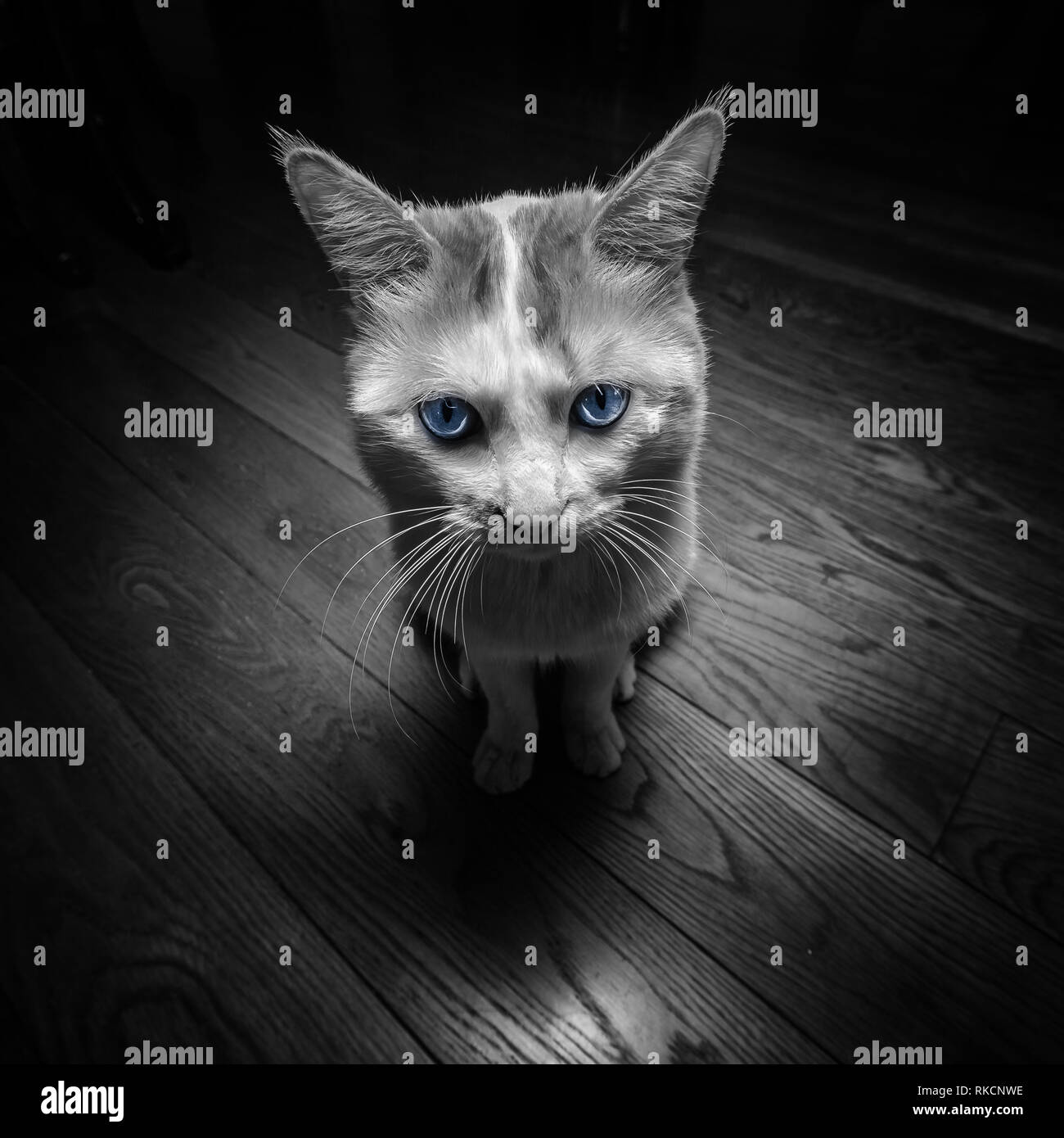 Black and White Tabby Cat with Bright Blue Eyes, Abstract Animal Housepet - Stock Image
