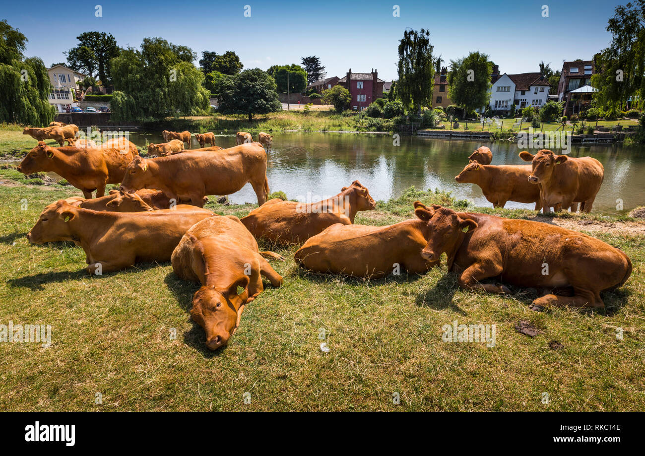Hot weather. Sudbury, Suffolk, UK. June 2018. UK weather - cattle cooling themselves at The River Stour, Suffolk. - Stock Image