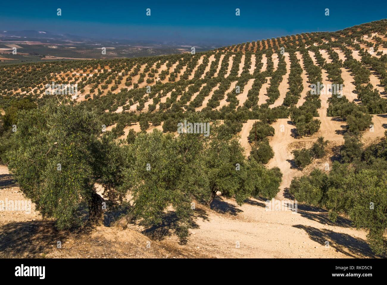 Spain, Andalusia, Malaga Province, Olive trees plantations by Antequera. - Stock Image
