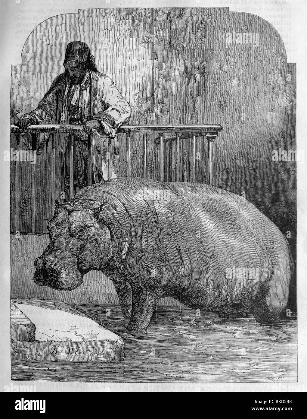 London Zoo - an hippopotamus. (drawing by Weir, 1853). London Zoo is the world's oldest scientific zoo. It was opened in London on 27 April 1828,and - Stock Image