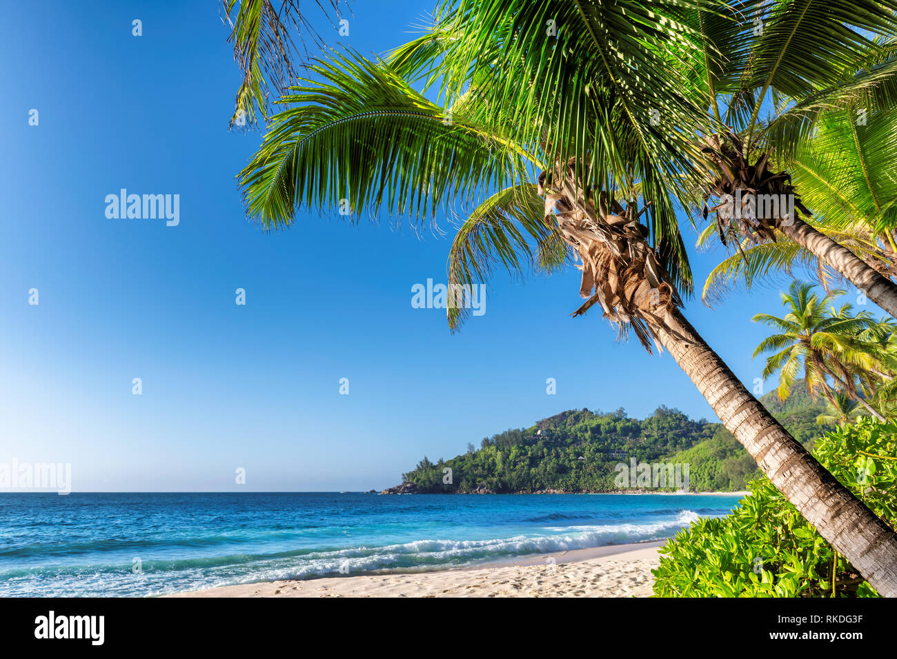 Coconut palm over sandy beach and tropical sea in Jamaica paradise island. - Stock Image