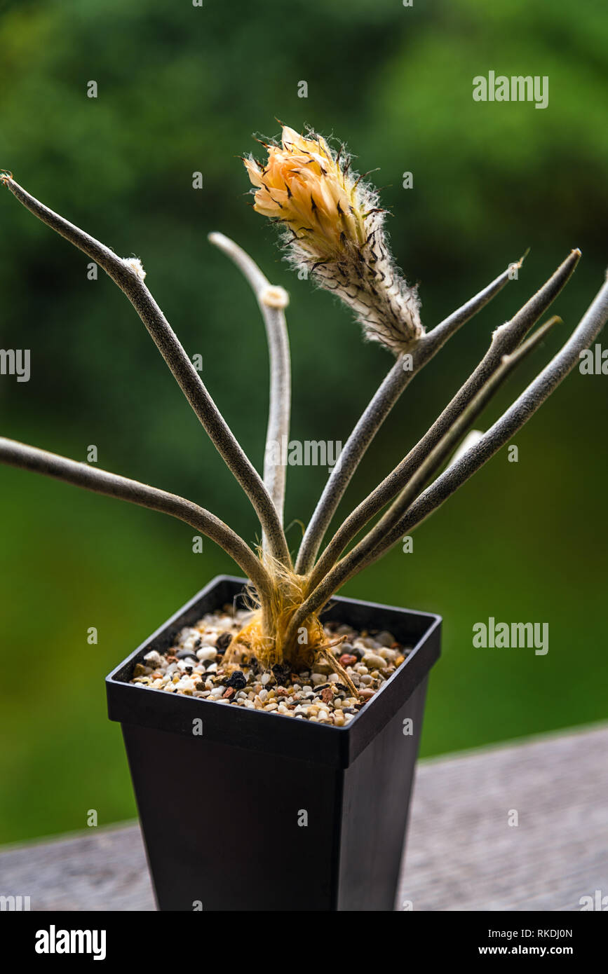 Blooming rare cactus flower in the pot isolated - Astrophytum caput medusae - Stock Image