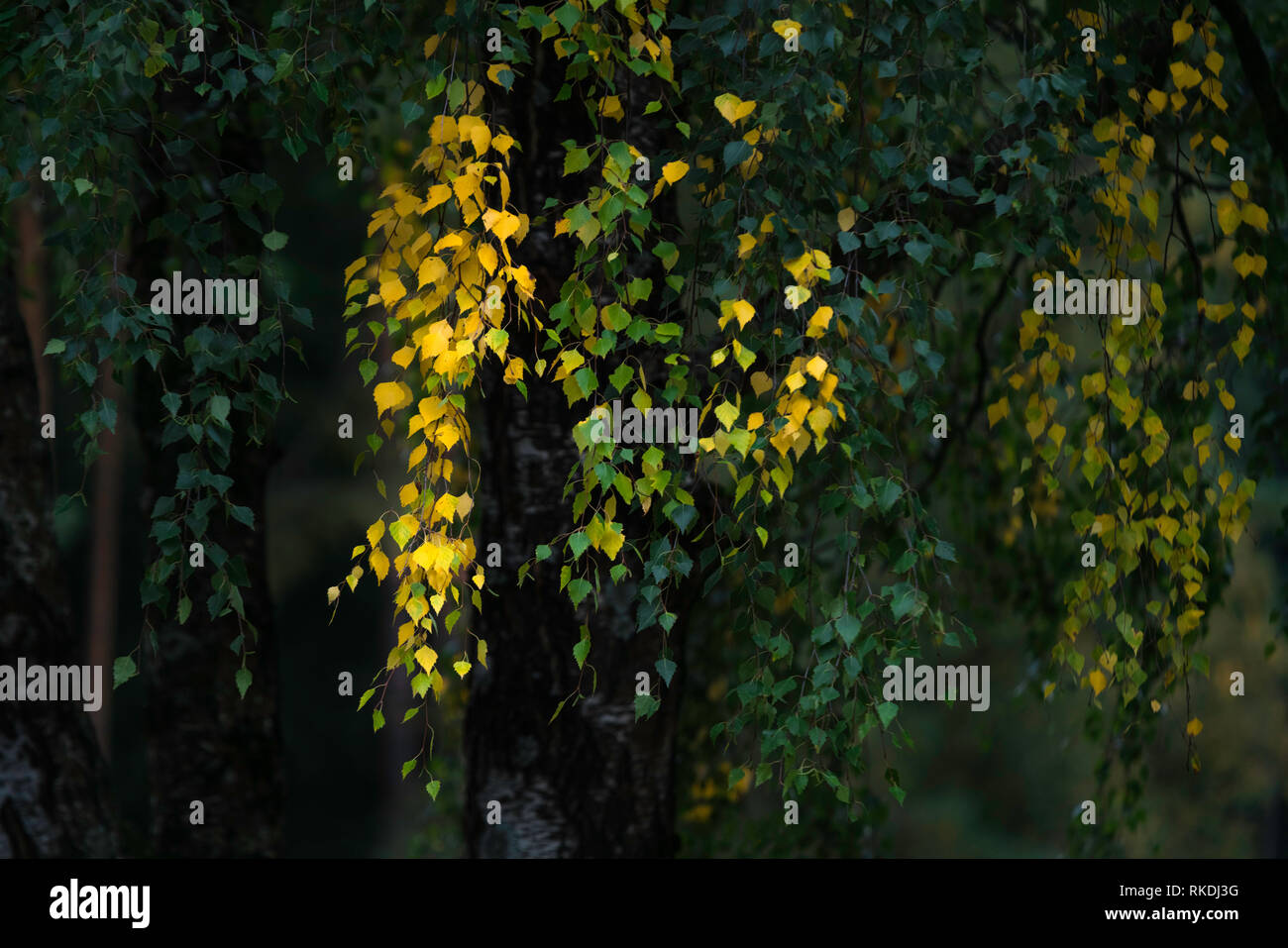 Yellow leafs of silver birch tree in autumn, the start of autumn - Stock Image