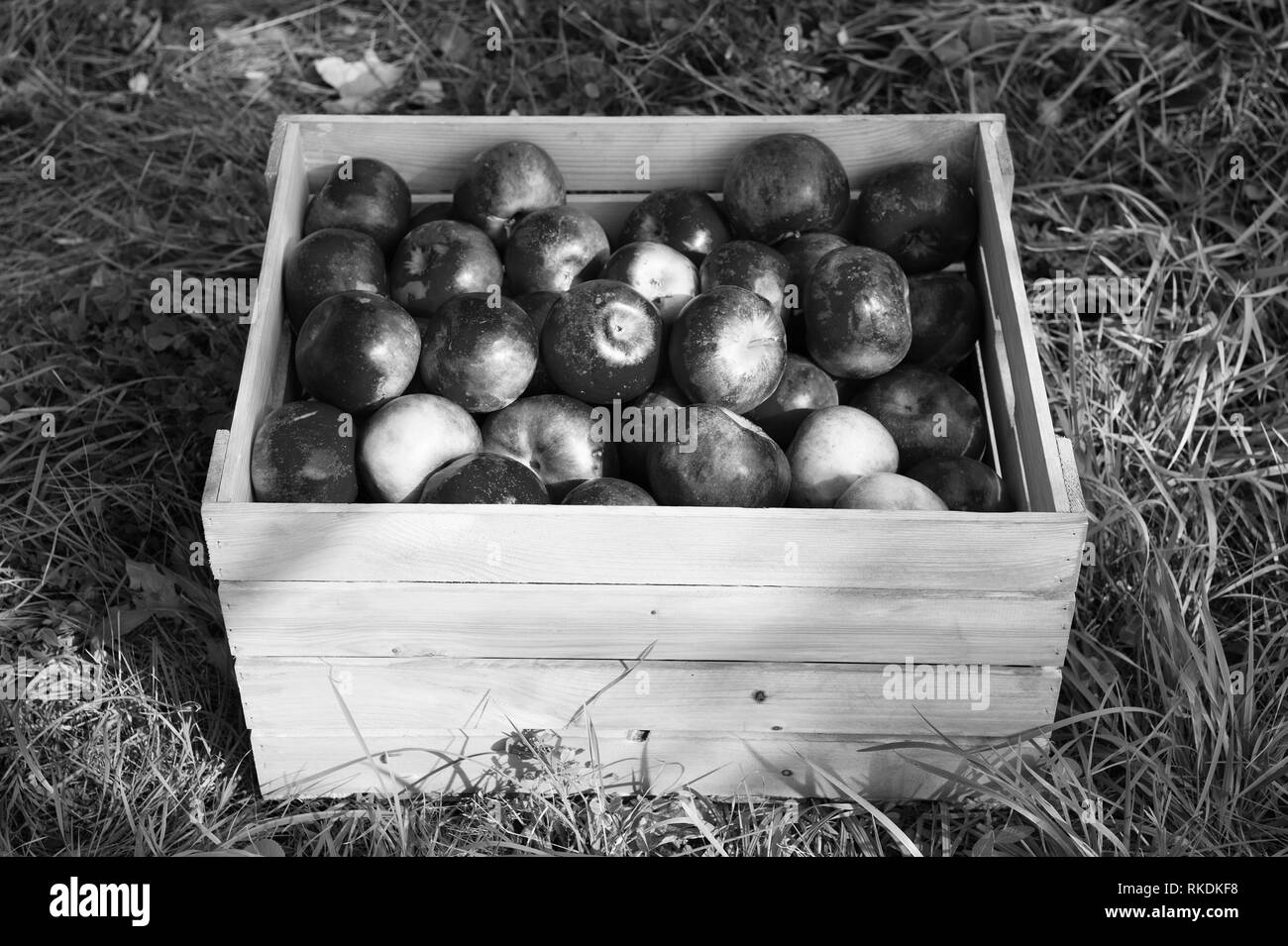Apples red ripe fruits in wooden box on grass. Apple harvest concept. Ripe organic fruits in garden. Autumn fruit and vitamin. Apples harvest. Fall apples harvest in rustic box. Juice producing. - Stock Image