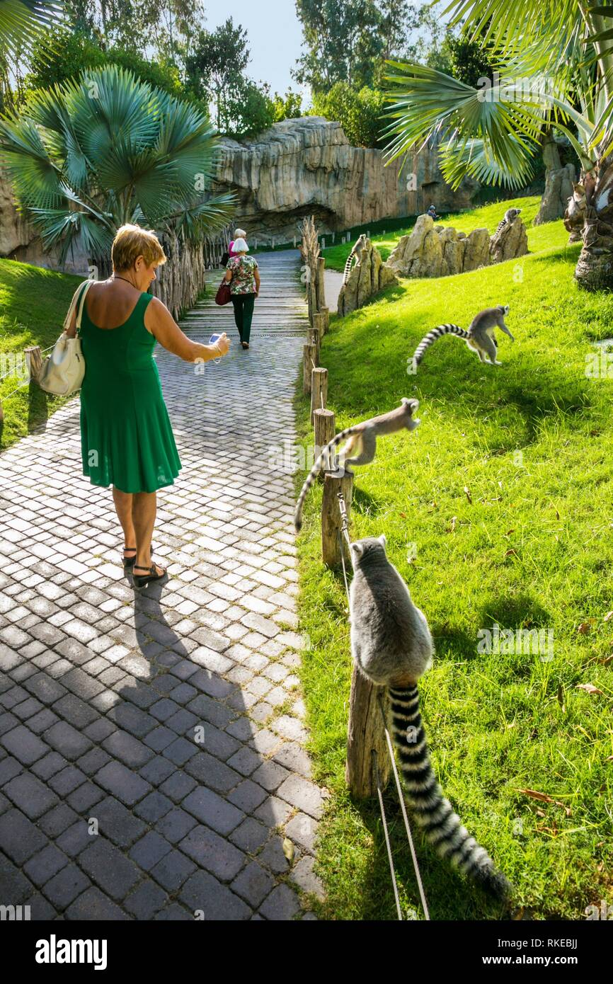 Lémur de cola anillada ,Lemur catta. Bioparc , Valencia Zoo. Valencia. Comunidad Valenciana. Spain. - Stock Image