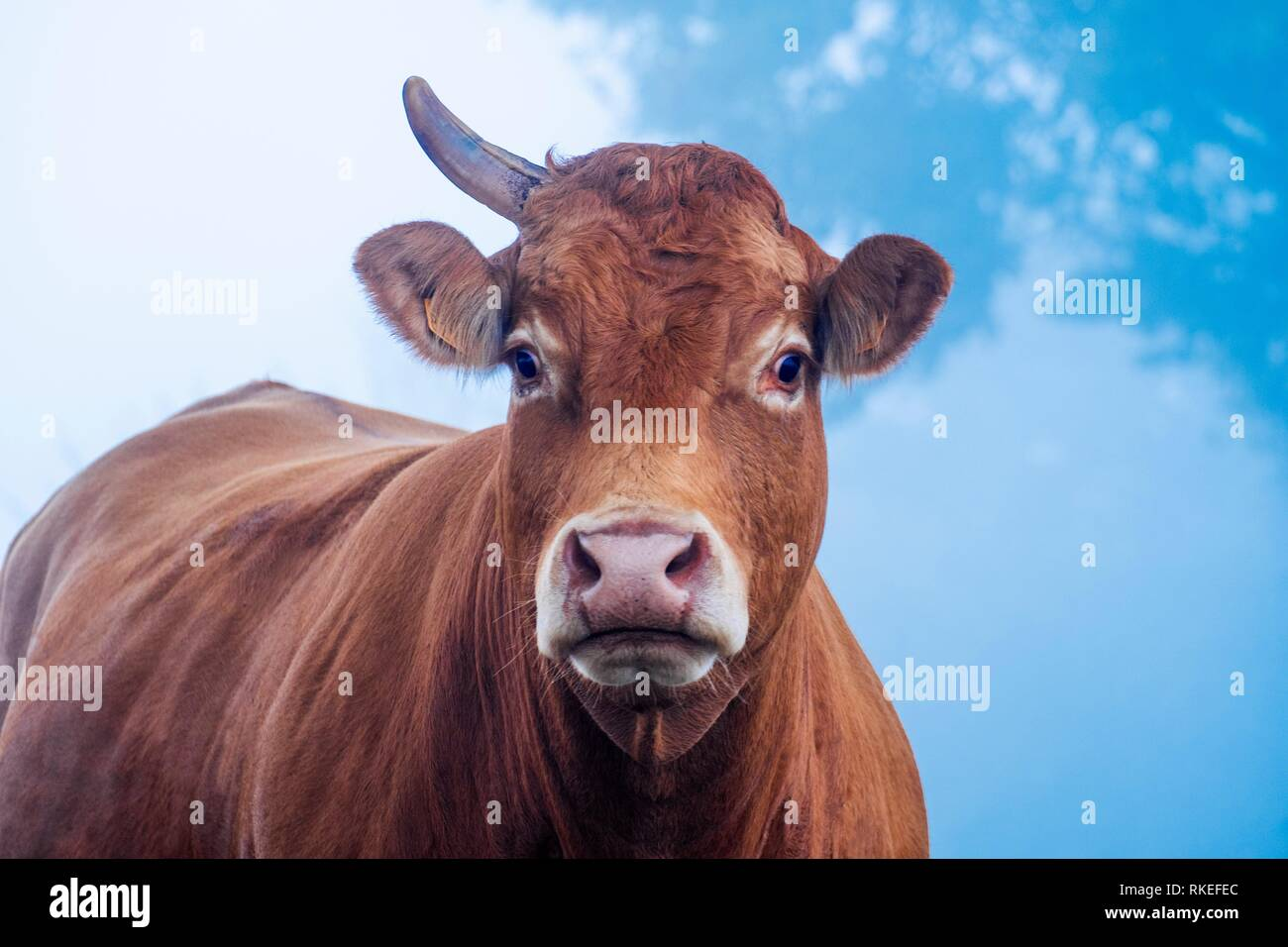 France, Auvergne, Cantal, cow MISSING A HORN, in aurumn, near Marcoles. Stock Photo