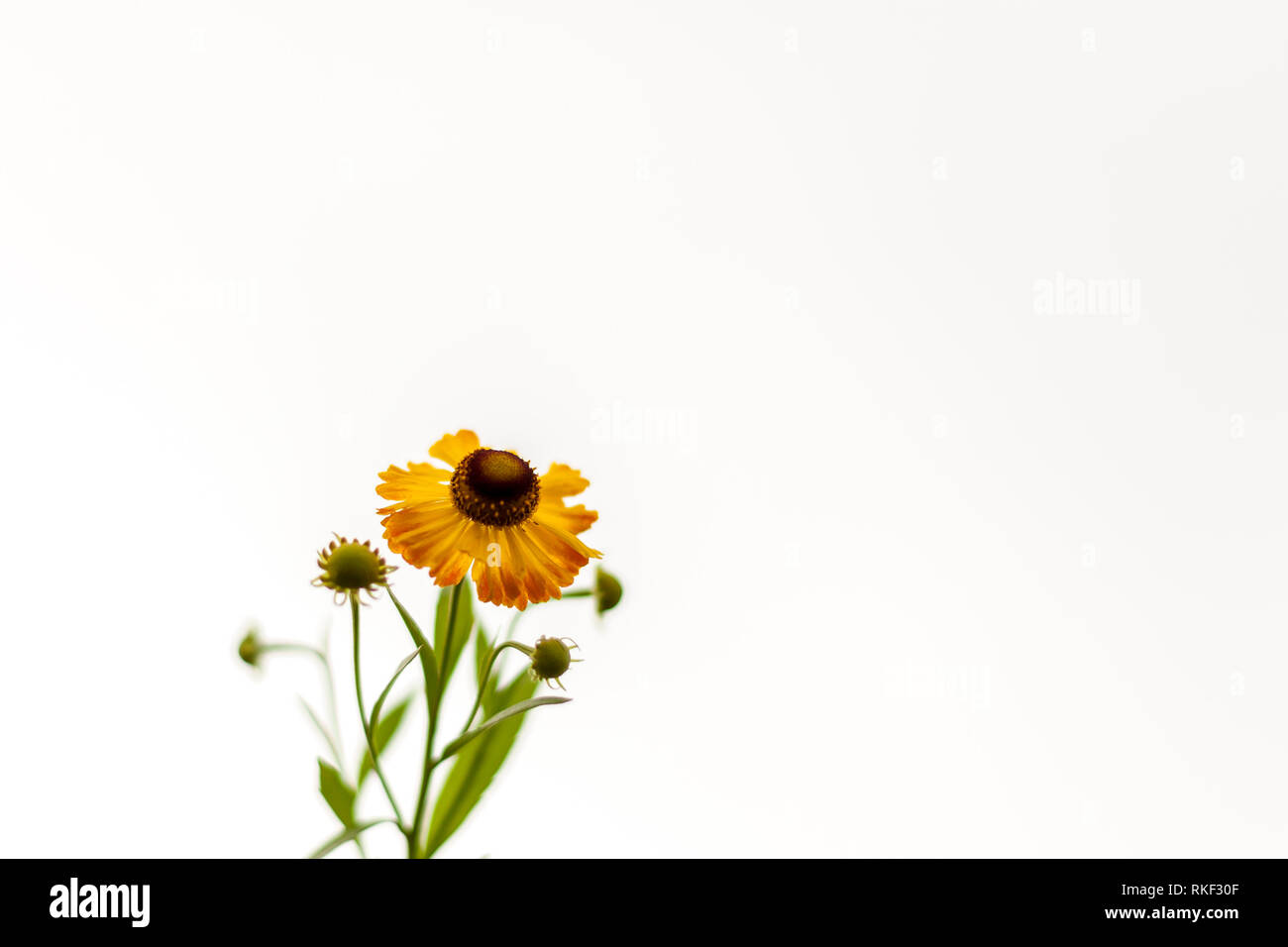 Yellow chamomile on the white background. Soft, gentle, airy, elegant artistic image. Selective focus. - Stock Image