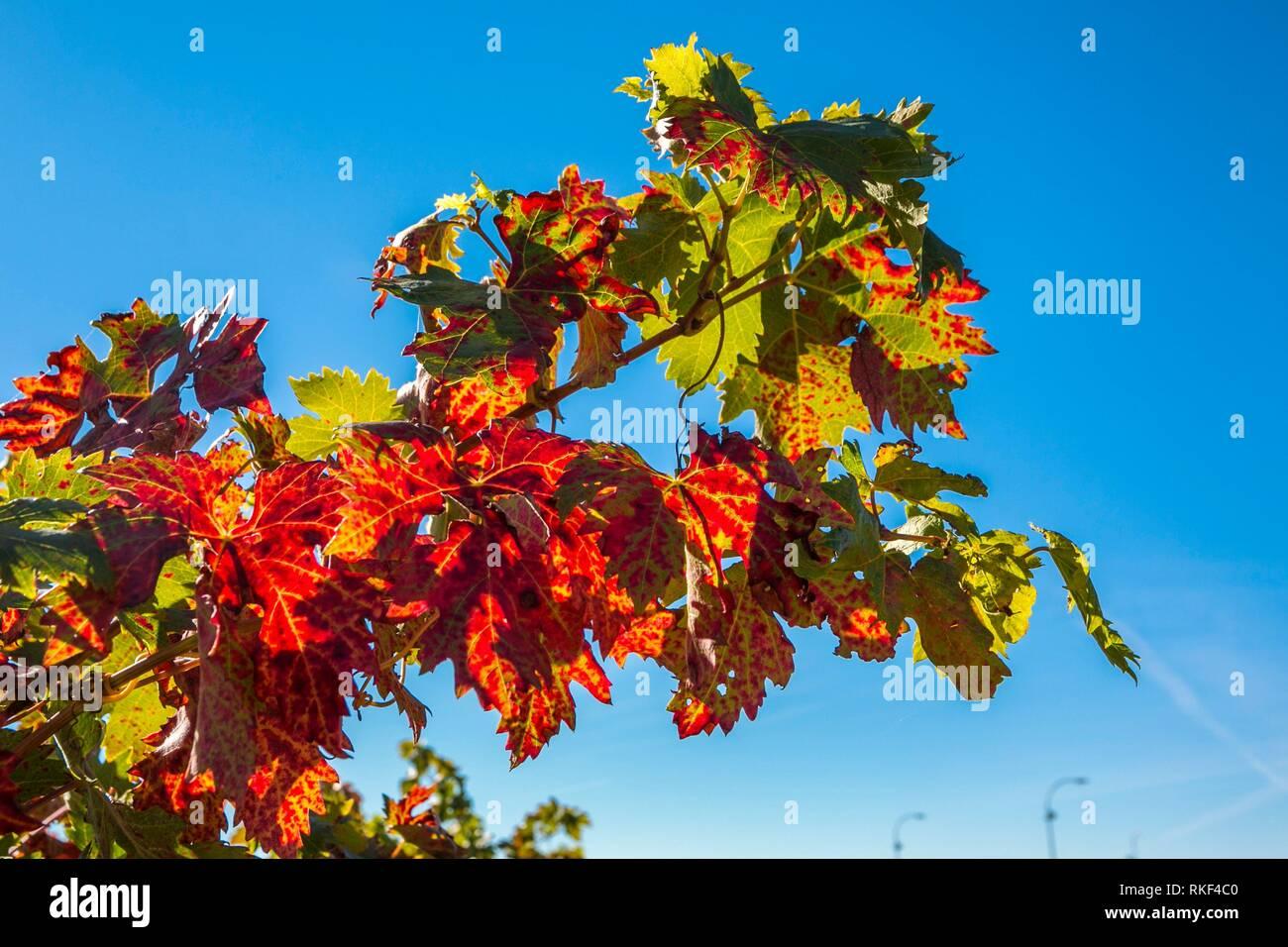 Autumn in the Vineyards of Gomez Cruzado Wine Cellars. Haro. La Rioja. Spain - Stock Image